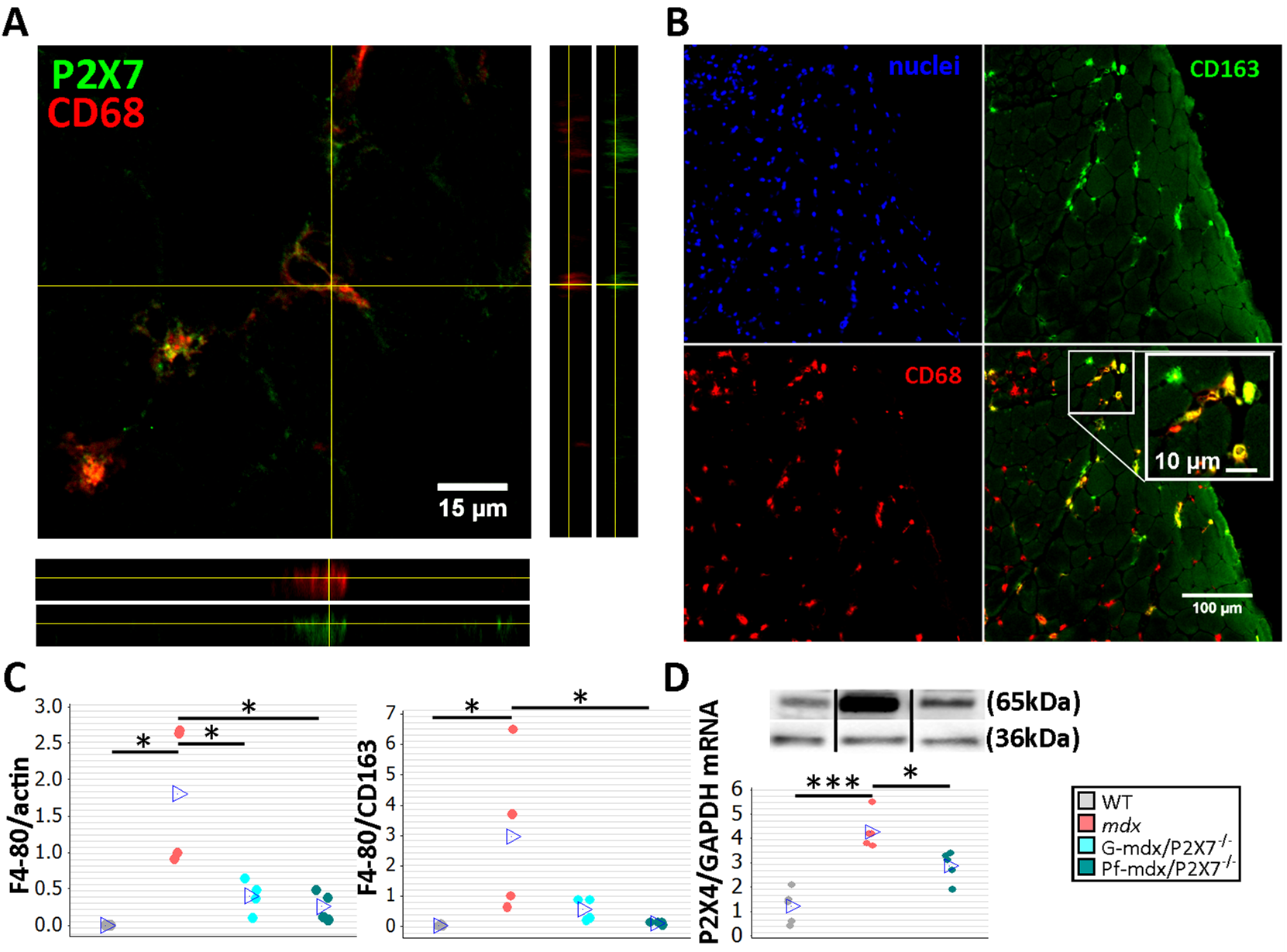 <i>P2RX7</i> ablation in <i>mdx</i> mice reduces macrophage infiltration.