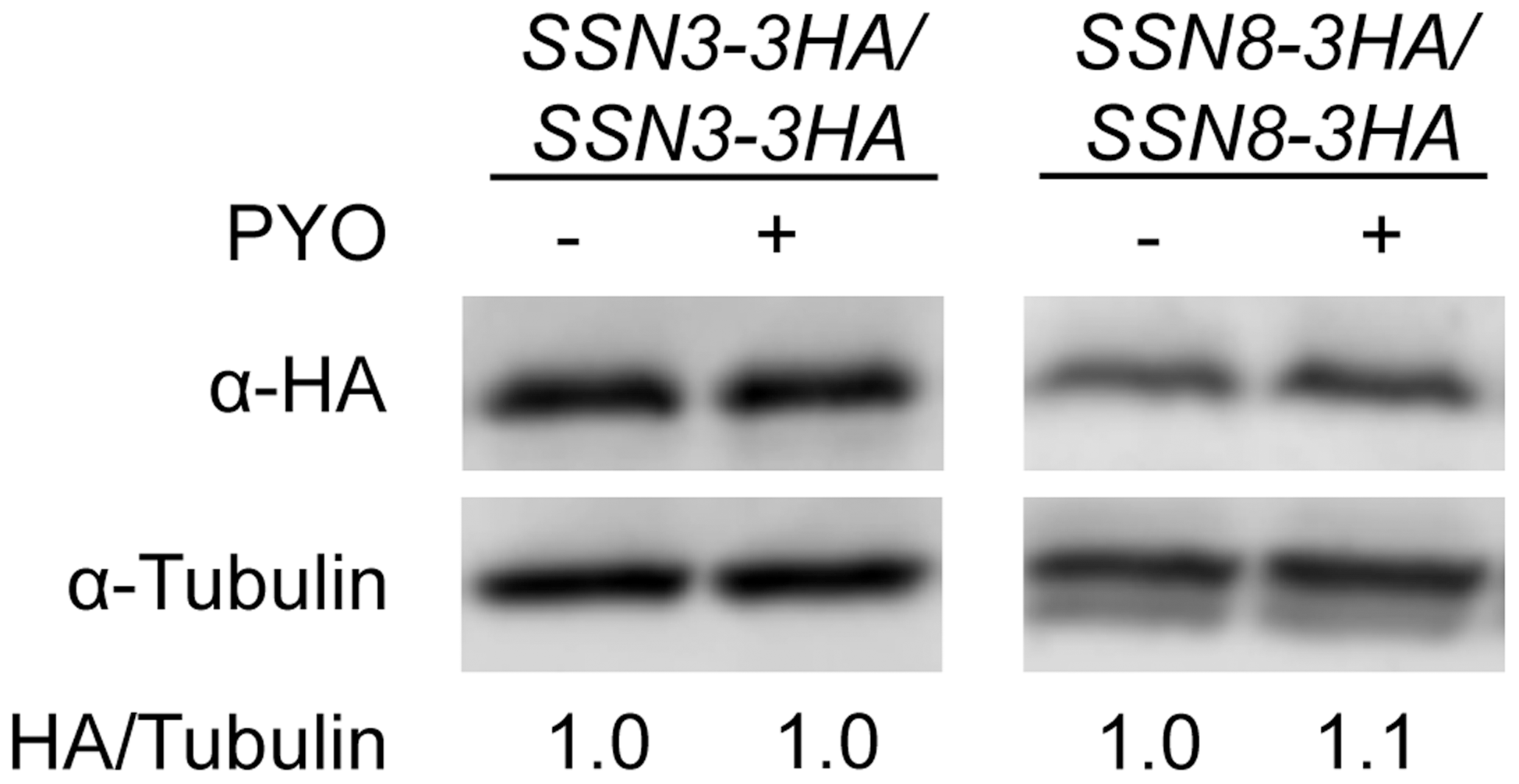 The stability of Ssn3 and Ssn8 is unaffected by PYO.