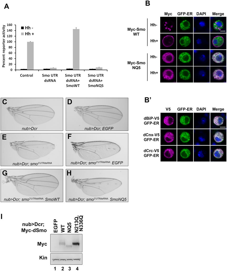N-linked glycans are required for dSmo trafficking and activity.