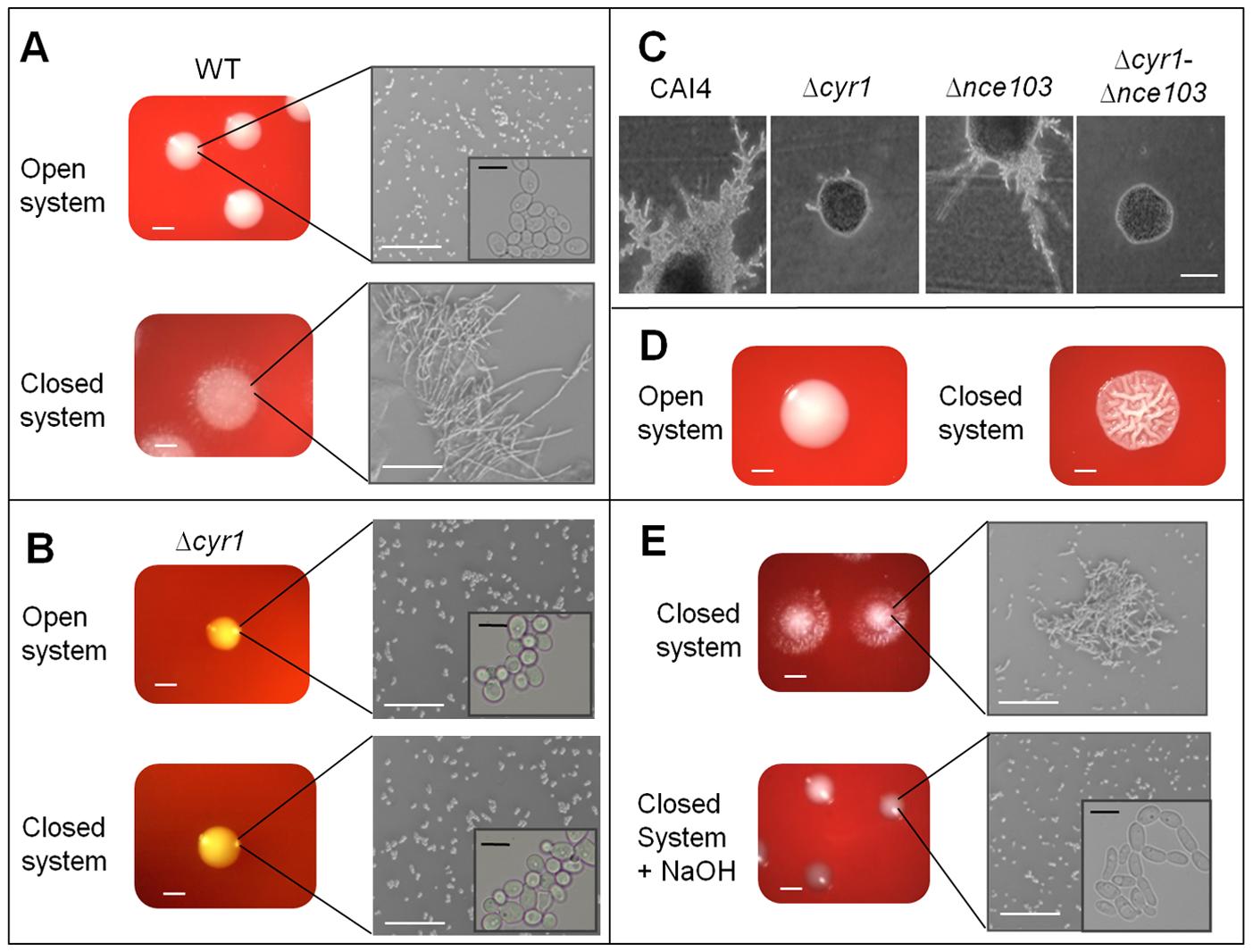CO<sub>2</sub> affects <i>C. albicans</i> colony morphology.