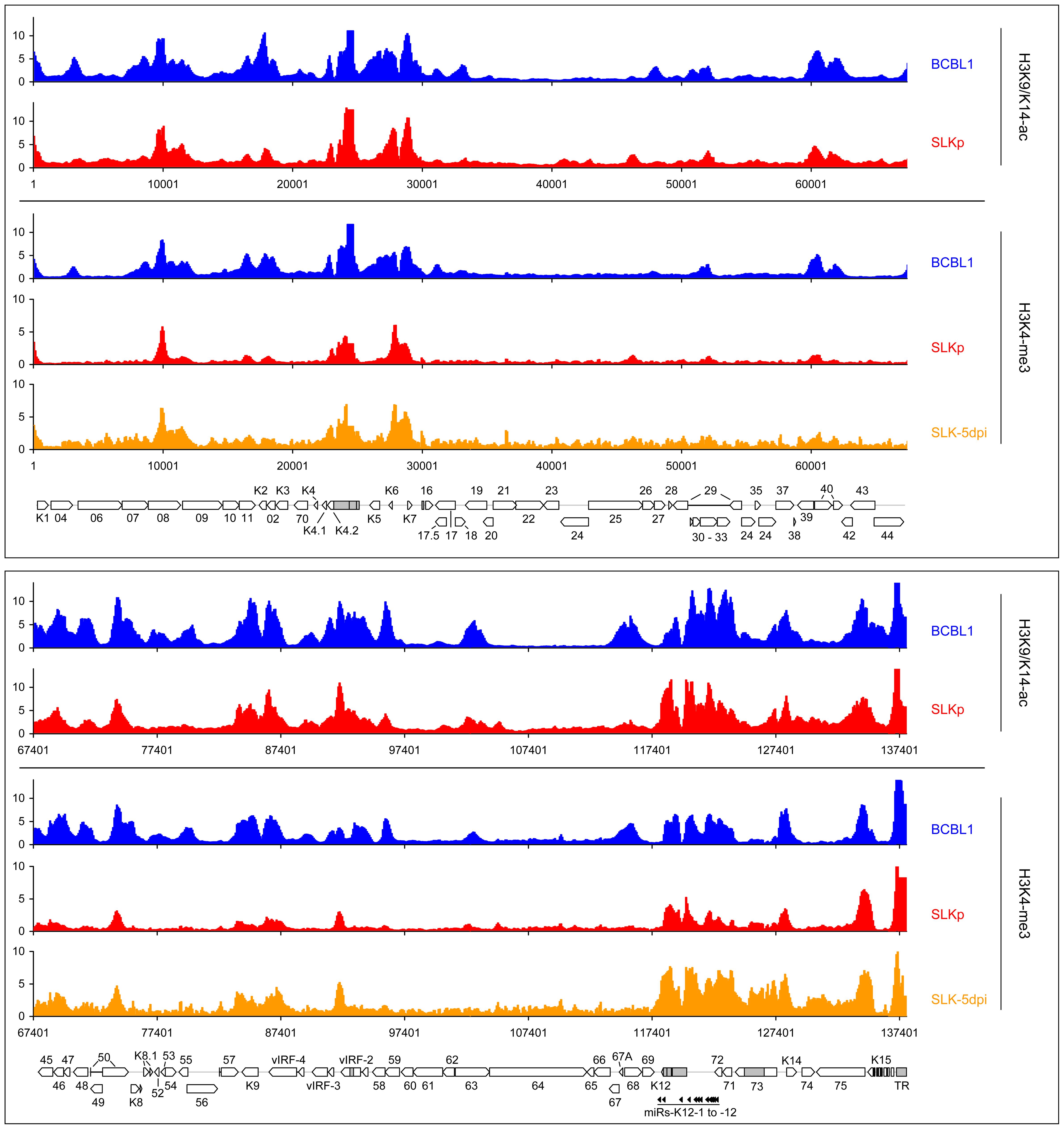 Global patterns of H3K9/K14 Acetylation and H3K4 tri-methylation on latent KSHV genomes.