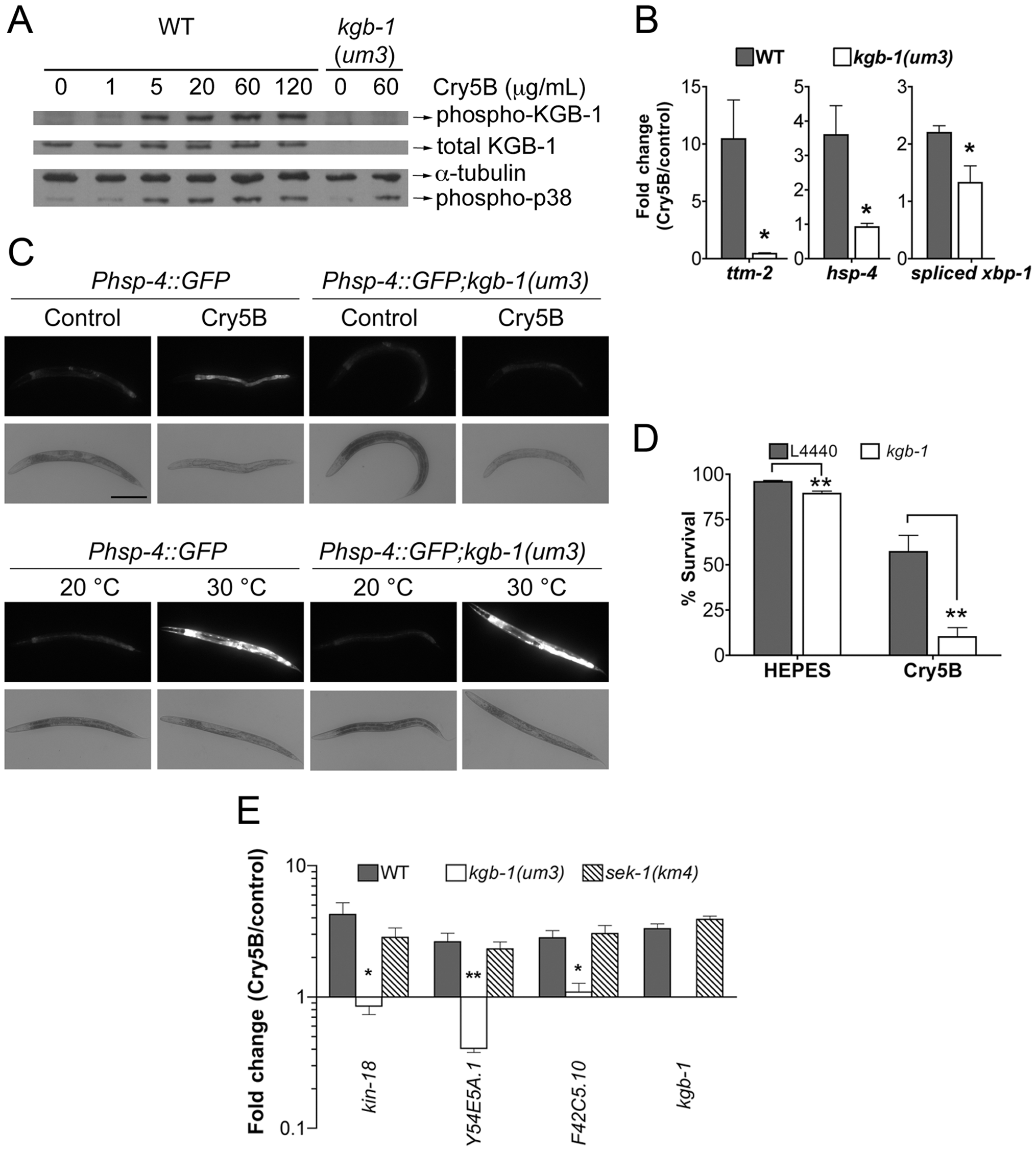 KGB-1 JNK-like MAPK regulates p38-dependent and -independent pathways involved in PFT defenses.