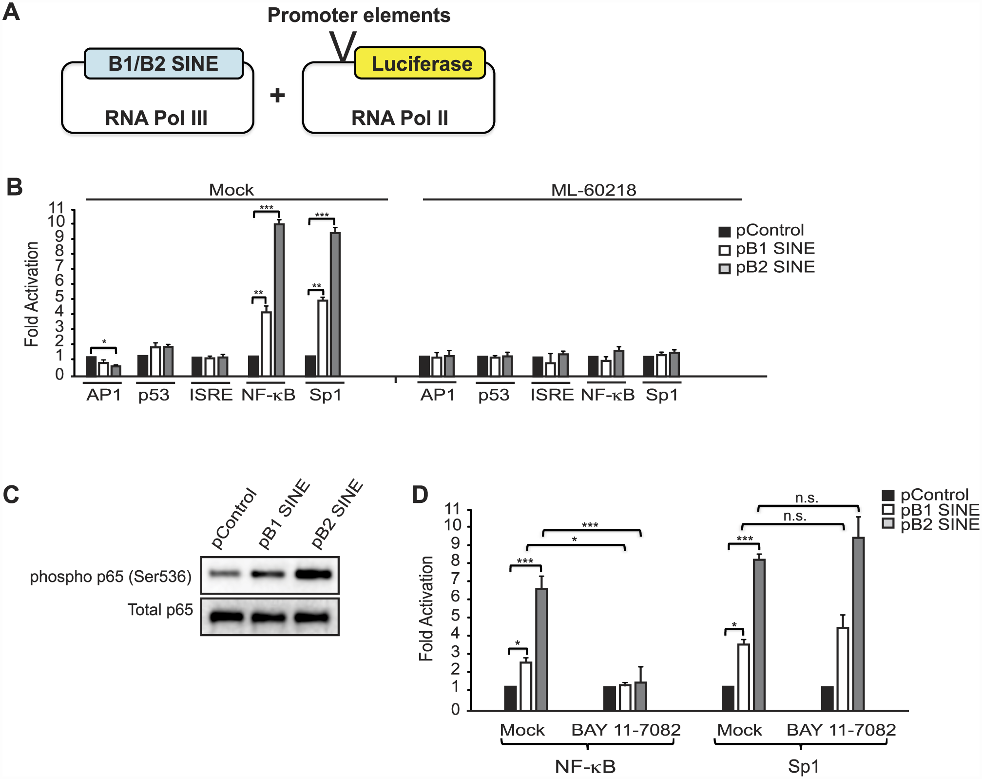 SINE RNAs activate the NF-κB pathway.