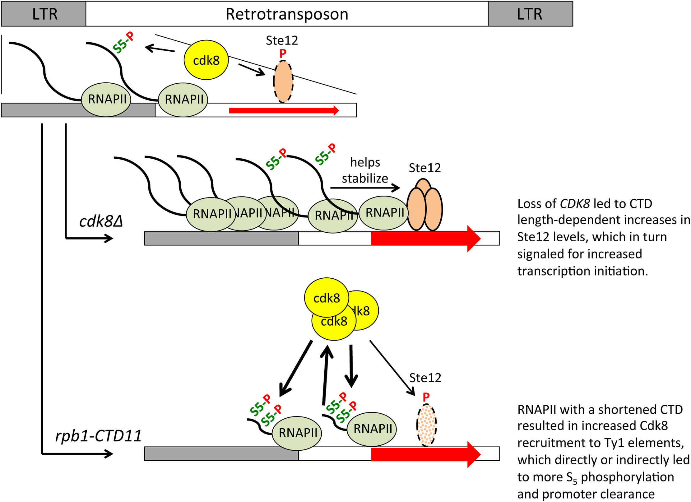 A role for the RNAPII-CTD and Cdk8 in Ty1 gene expression regulation.