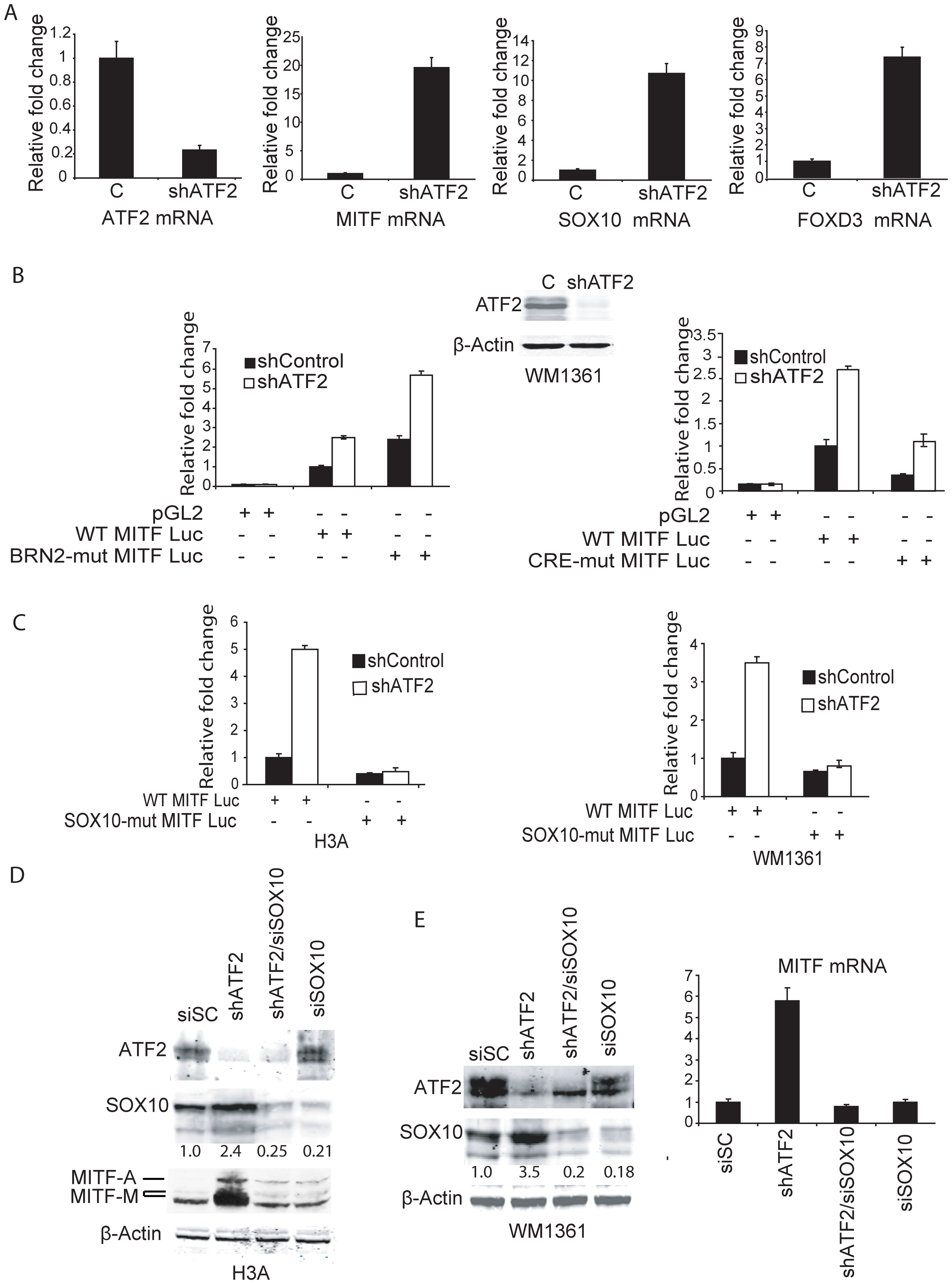 Negative regulation of MITF by ATF2 is mediated by SOX10.