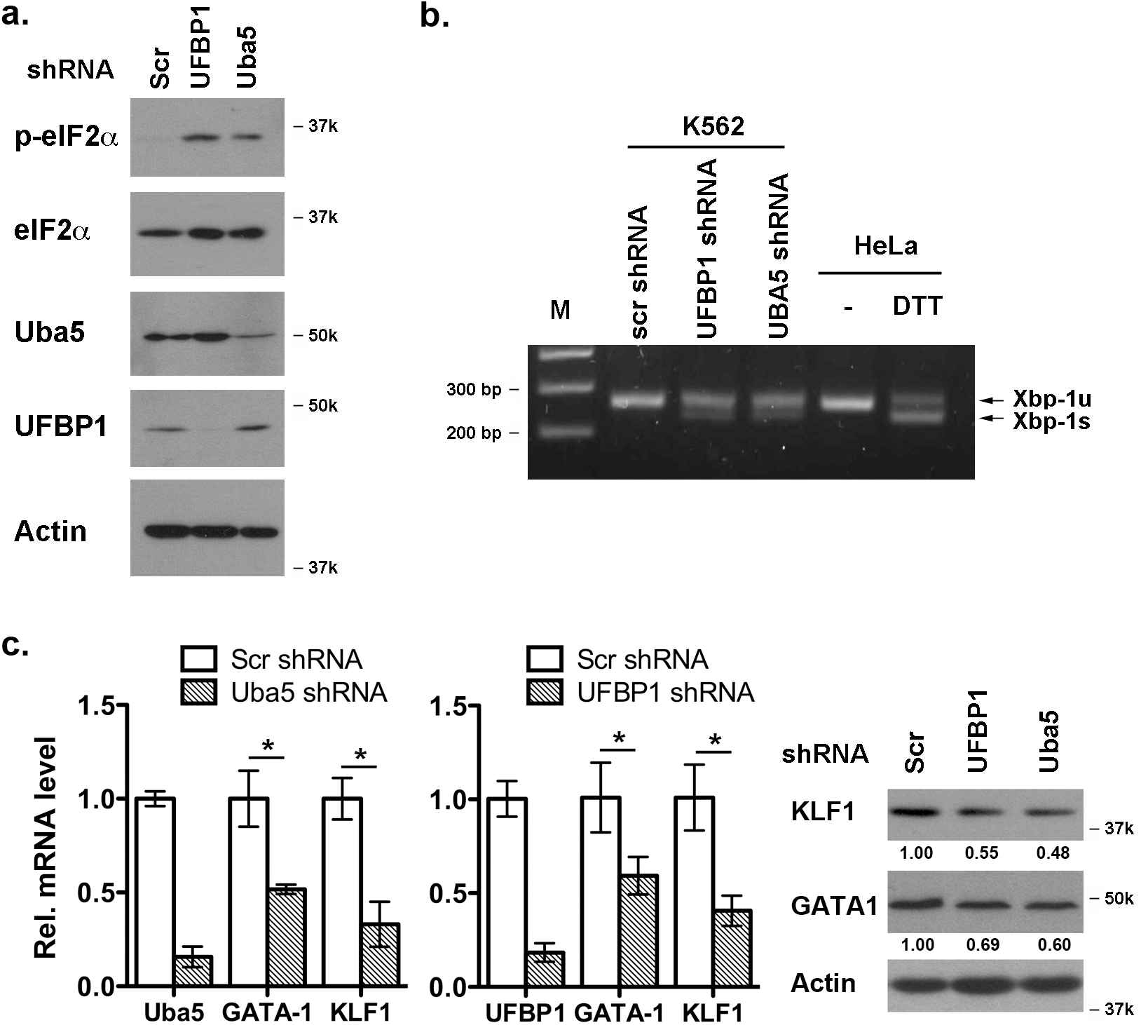 Depletion of Uba5 activates the UPR and suppresses expression of erythroid transcription factors in K562 cells.