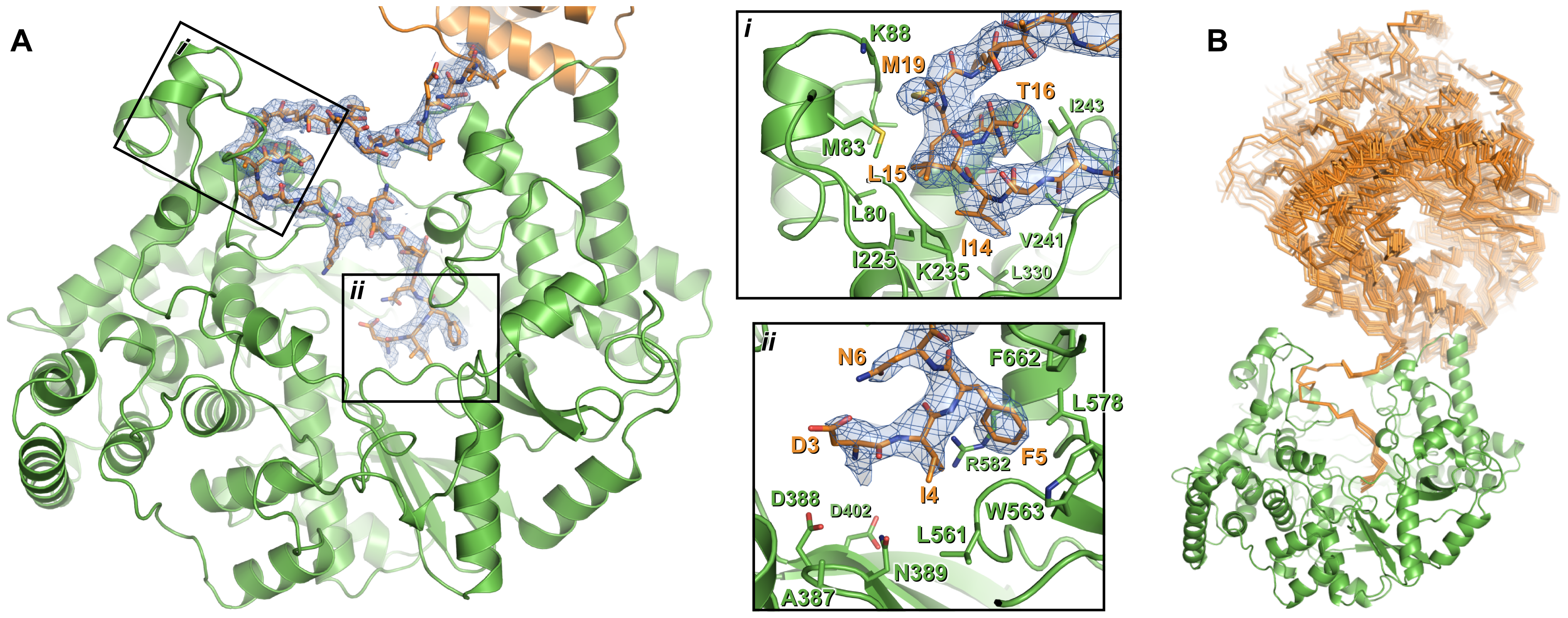 Interaction of the N-terminal tail with the polymerase domain of VP1.