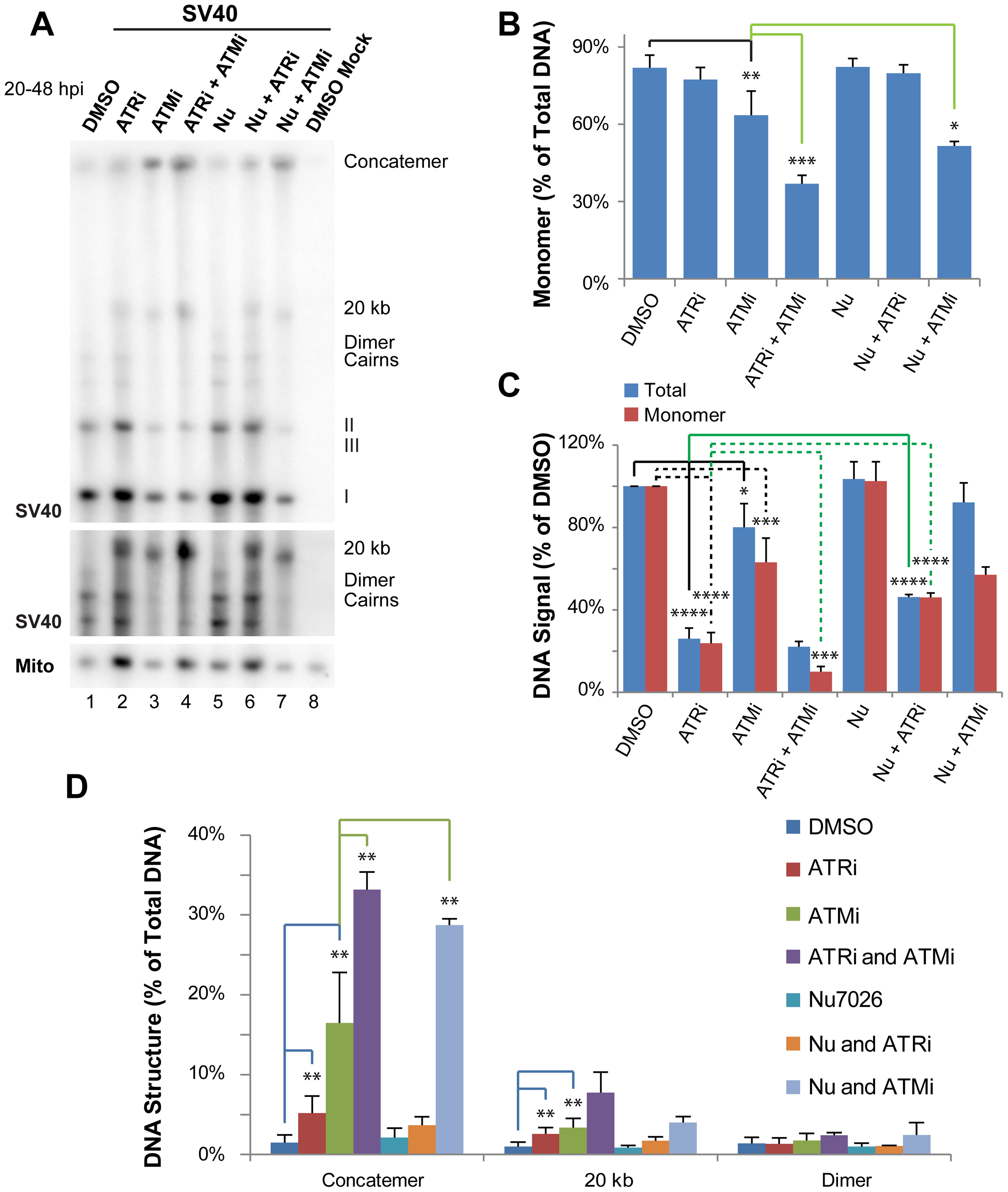 ATR and DNA-PK<sub>cs</sub> prevent viral genome concatemer formation when ATM is inhibited.