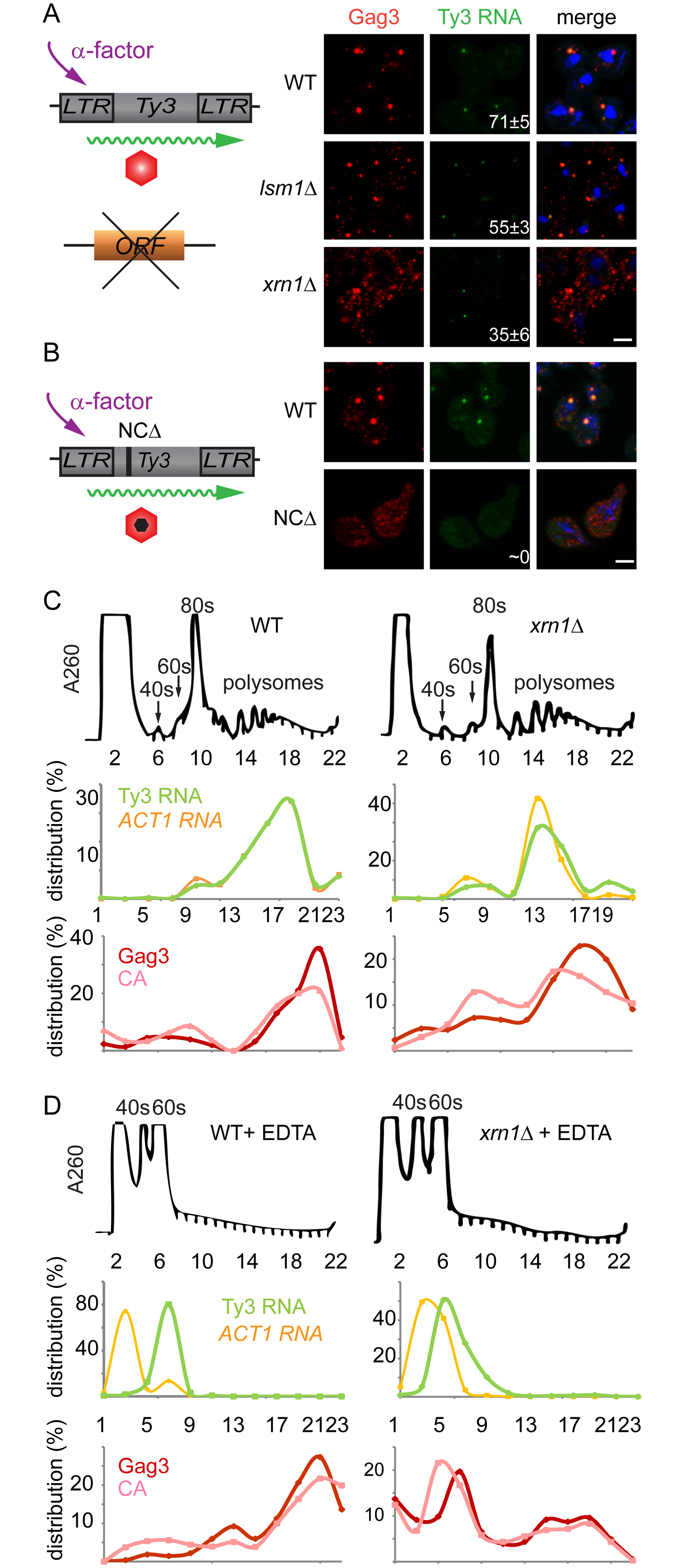 Xrn1 and Lsm1 are required for Gag3 foci formation in mating cells.