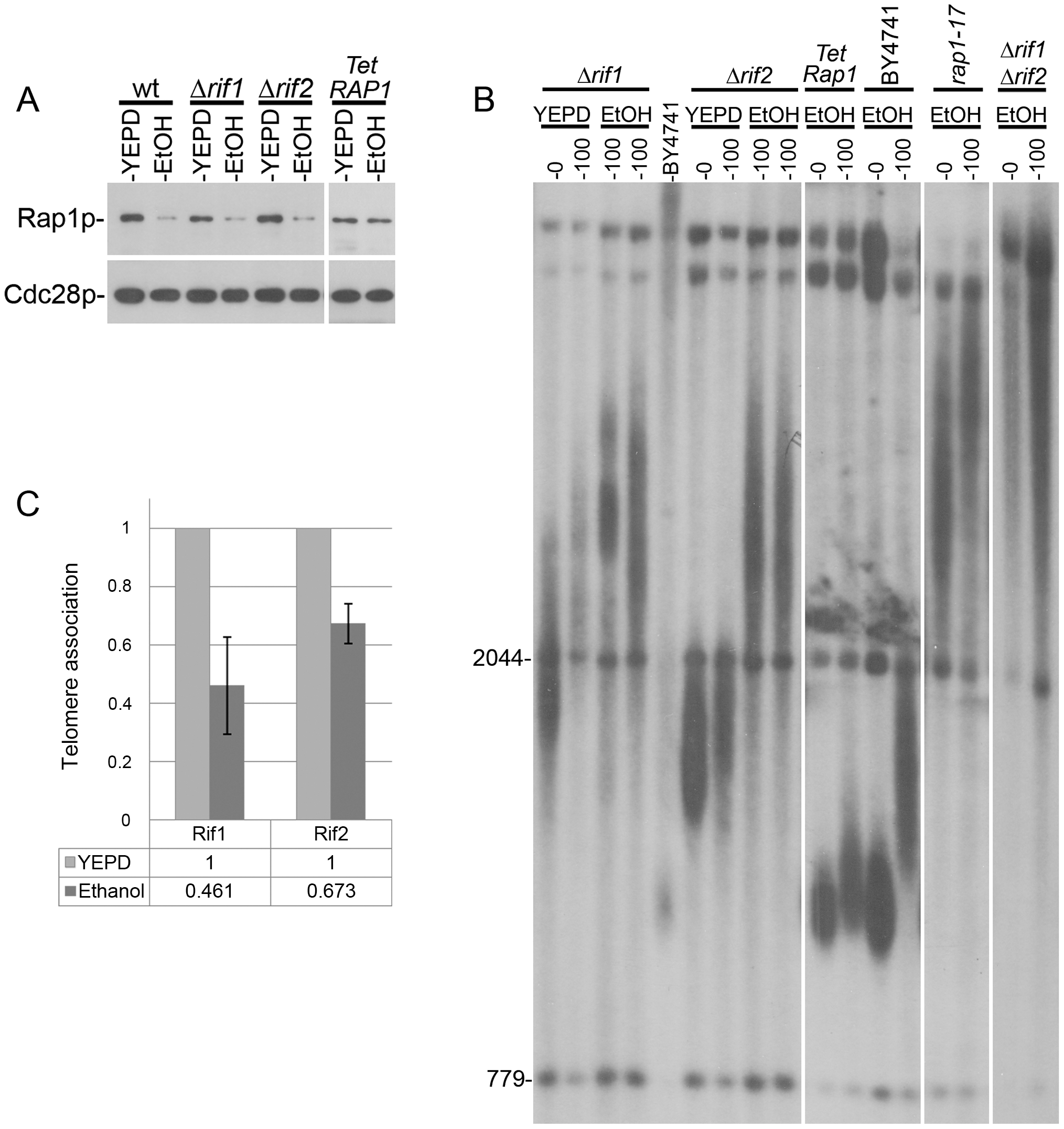 Telomere elongation of different mutants grown in the presence of ethanol.