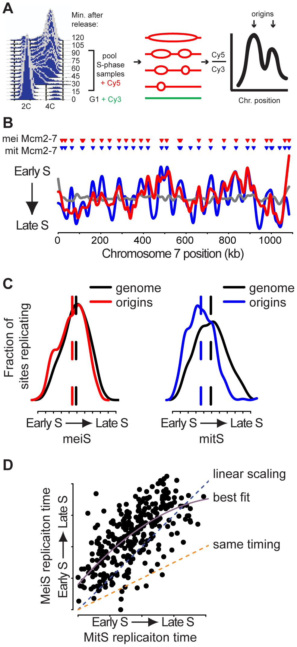 Meiotic DNA replication profiles.