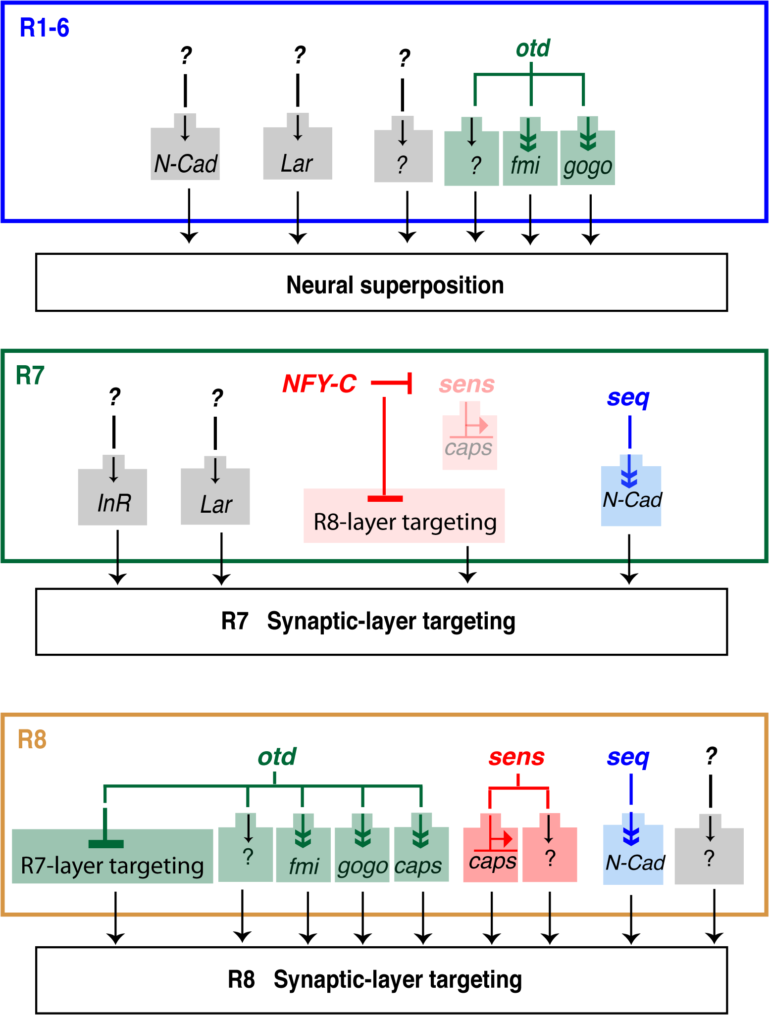 Transcriptional inputs required for proper photoreceptor targeting in the <i>Drosophila</i> visual system.