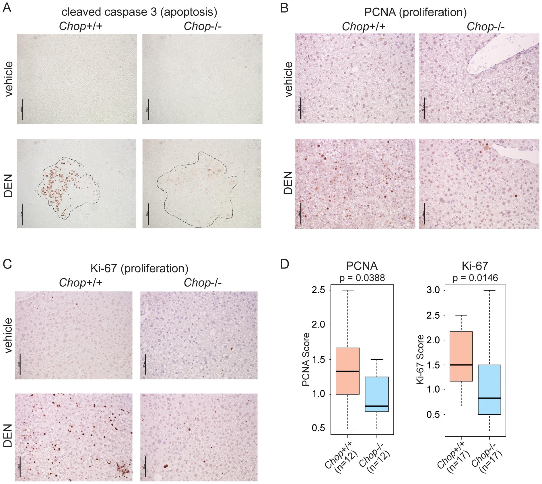 CHOP promotes hepatocellular apoptosis and proliferation.