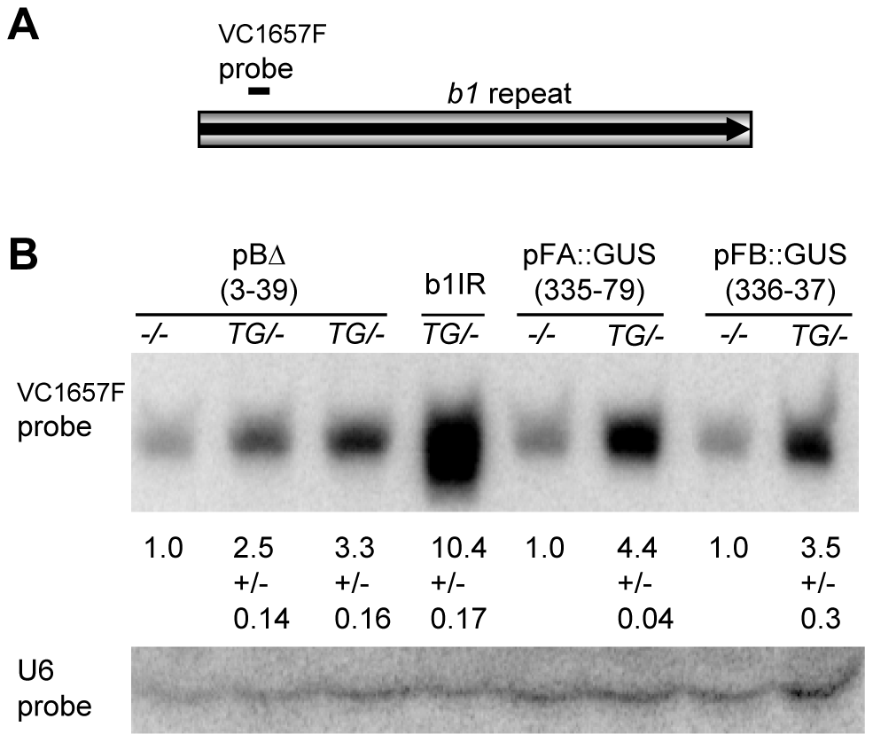Northern blot analysis of repeat siRNAs in transgenic plants.