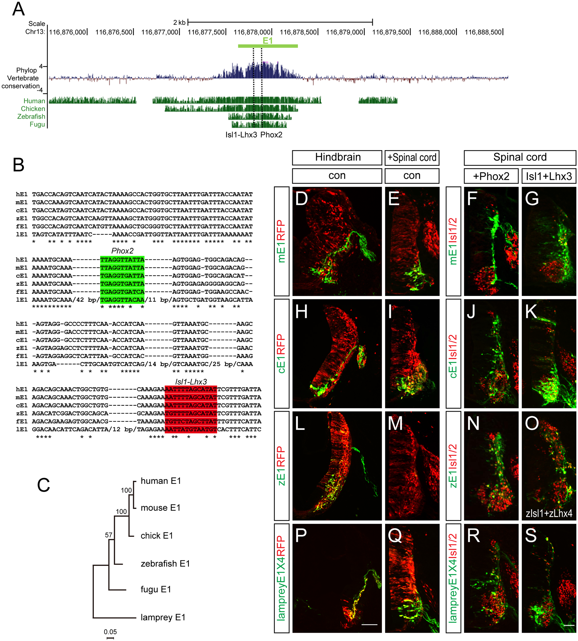 Conservation of putative regulatory elements of the E1 enhancer in vertebrates.