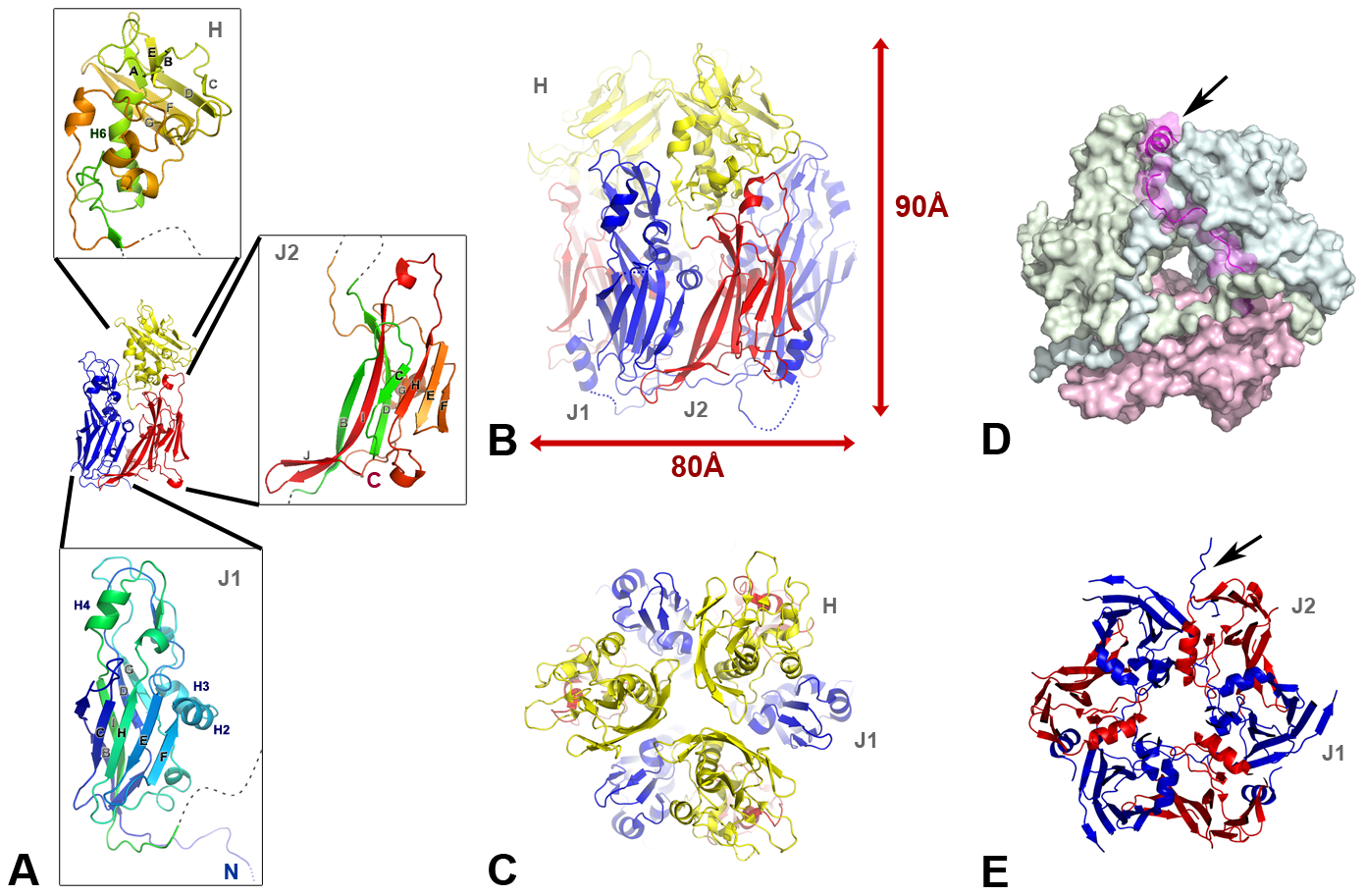 The scaffolding protein D13 of poxvirus is a trimeric double-barrel capsid protein.