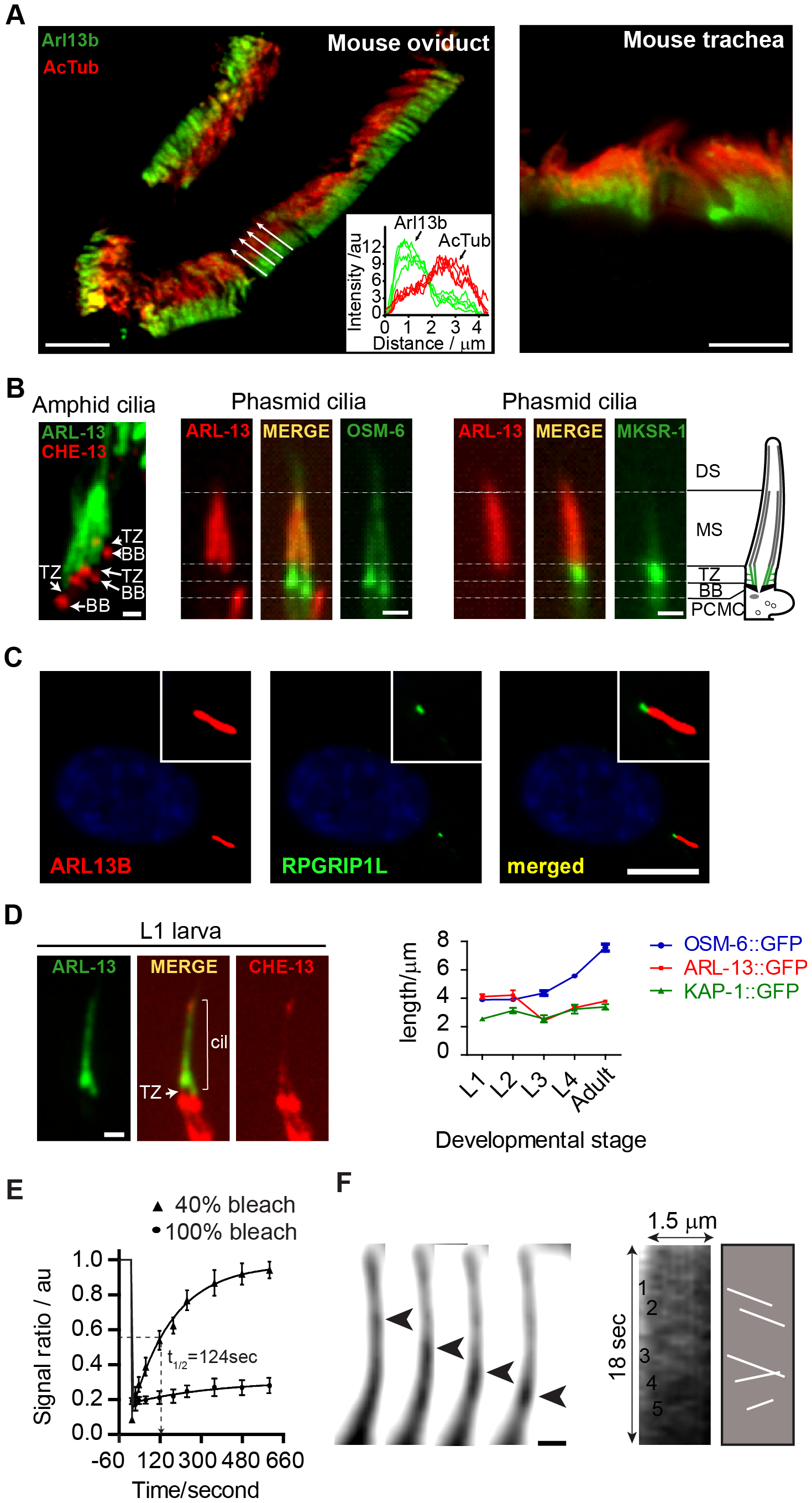 ARL-13/ARL13b localisation and mobility within an Inversin-like ciliary compartment.