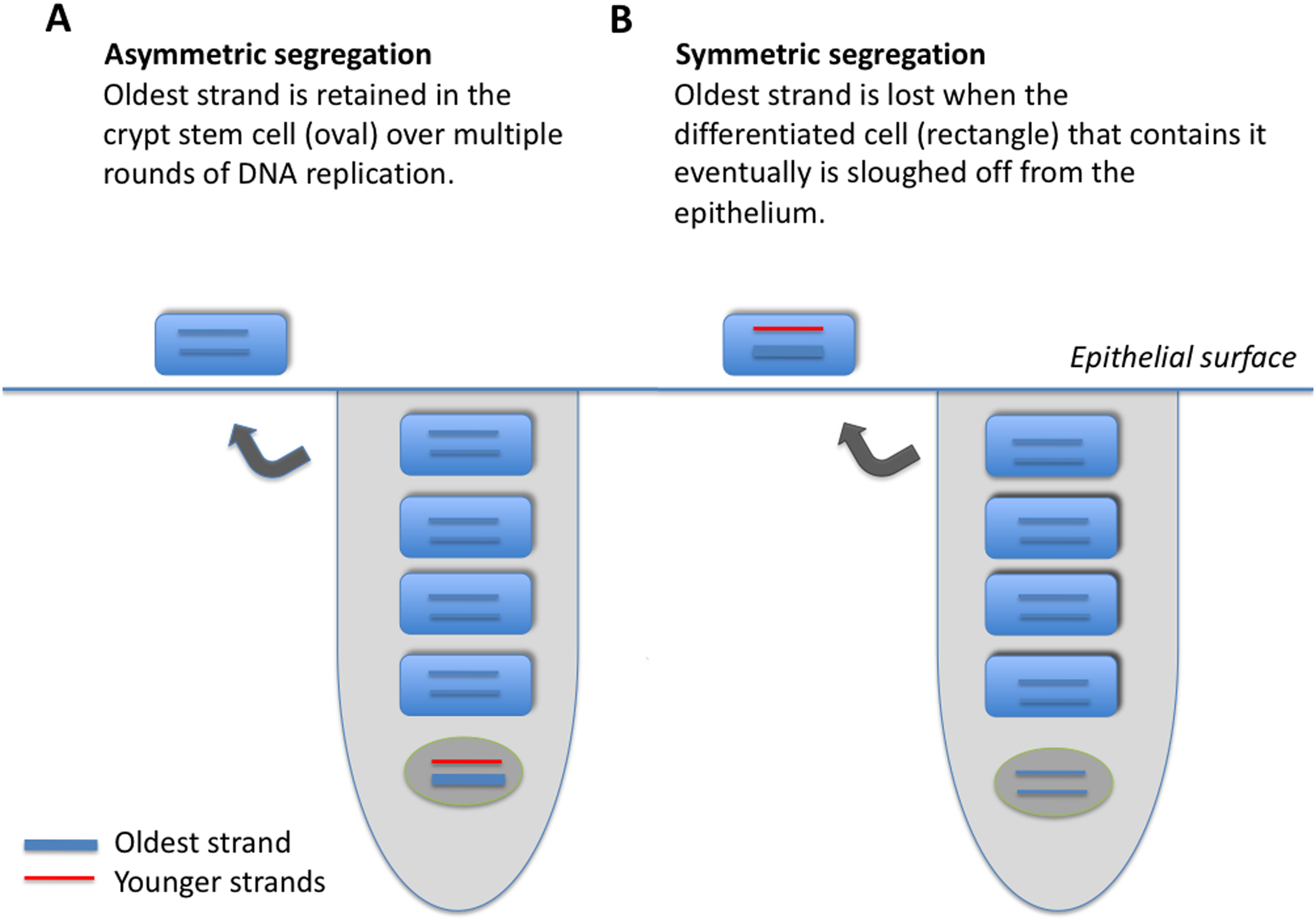Model of two epithelial cell crypts, one showing asymmetric (A), and the other symmetric (B), strand segregation.