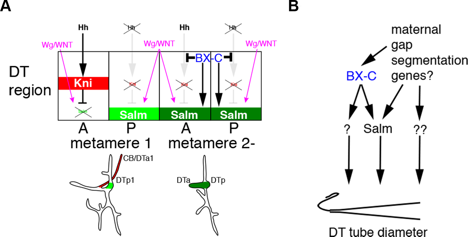 Models for the BX-C dependent control of branching patterns and of DT tube diameter.