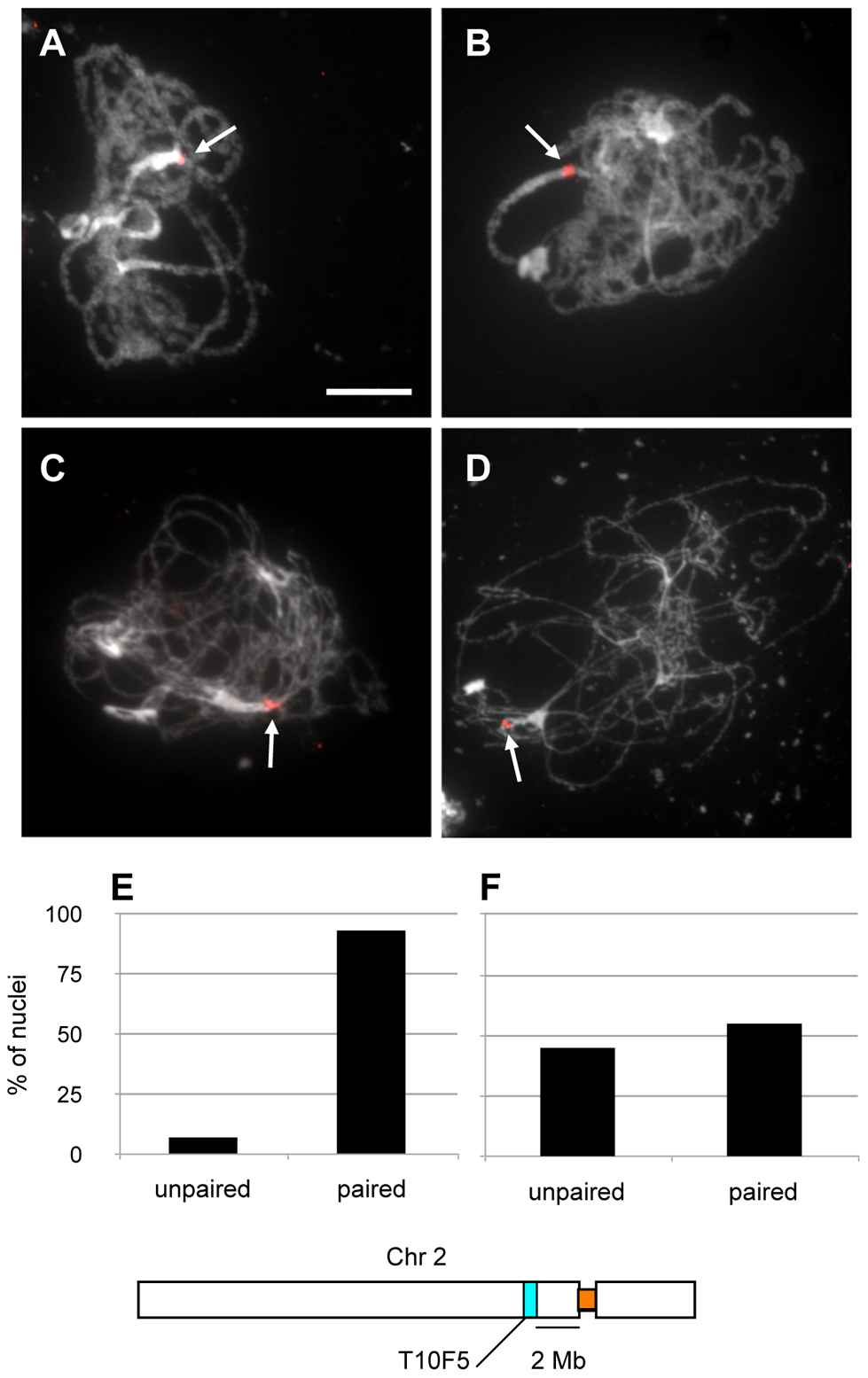 Homologous peri-centromeric pairing of chromosome 2 in <i>xrcc3</i> mutants.