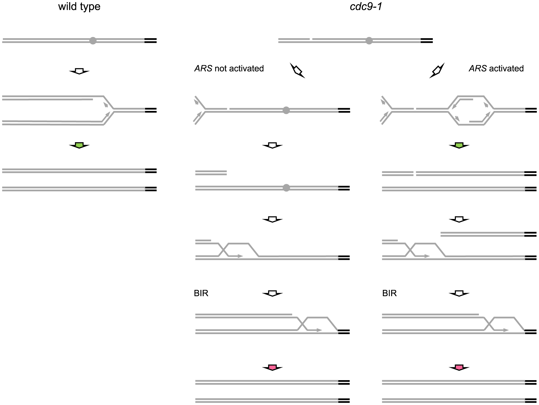 Possible mechanisms for replication-coupled telomere synthesis by telomerase in <i>CDC9</i> and <i>cdc9-1</i> cells.