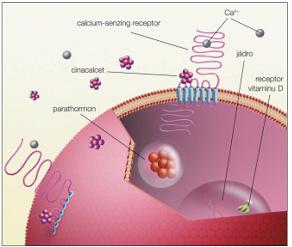 Kalcimimetikum cinacalcet působí na membranózní část vápníkového receptoru, vápník na část extramembranózní. Uveřejněno s laskavým svolením profesorky S. Dusilové-Sulkové a vydavatele časopisu Remedia.