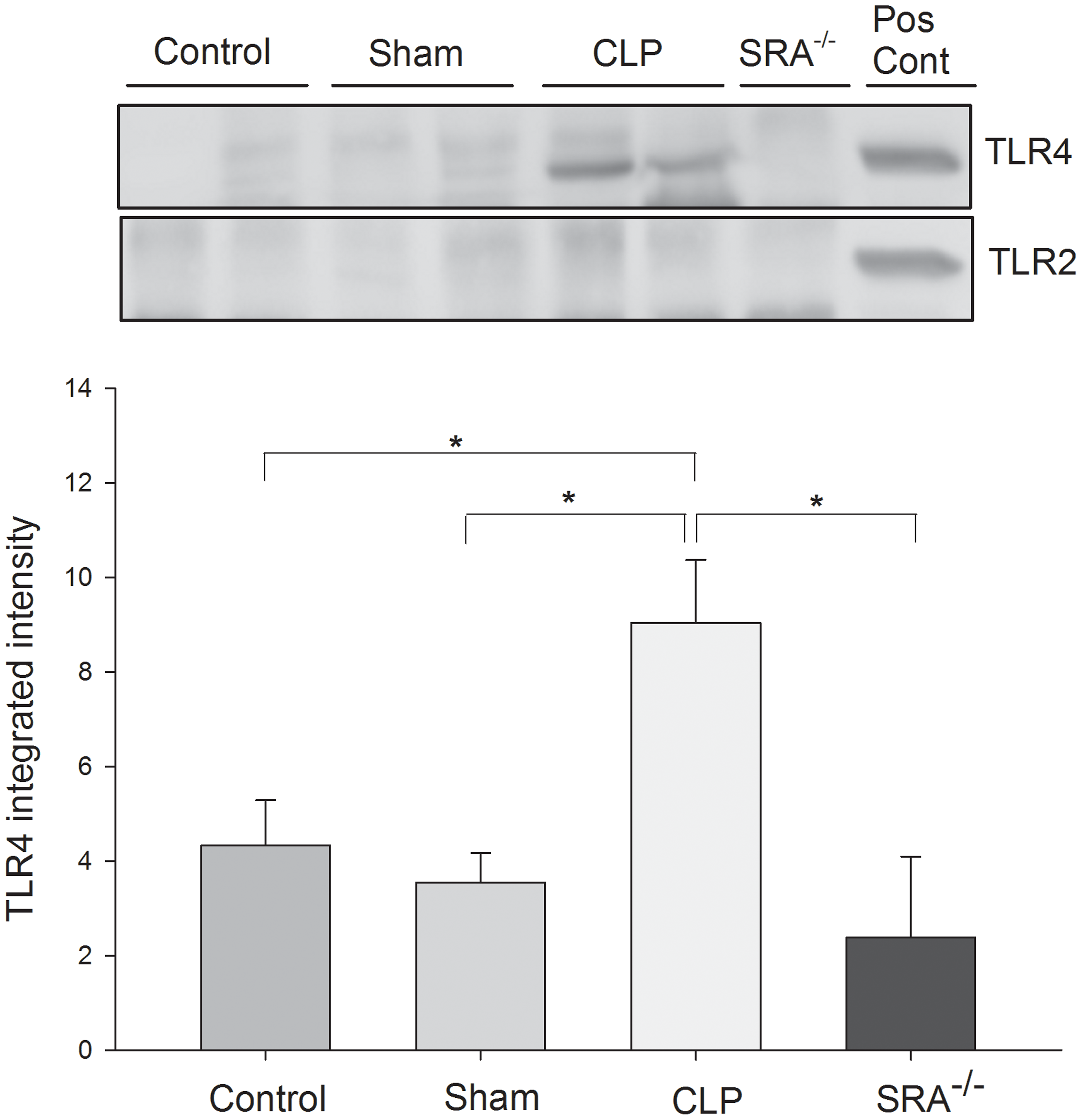 SRA co-associates with TLR4, but not TLR2, in lungs of wild type CLP mice.