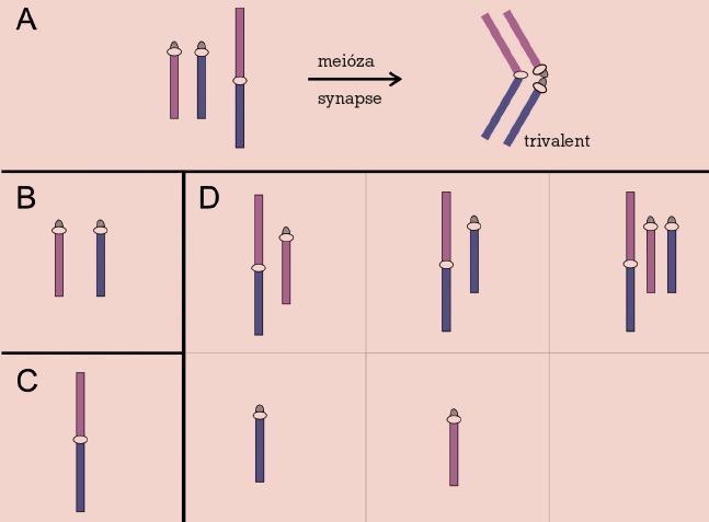 Robertsonova translokace. Meiotické párování (A) a chromozomy v gametách: normálních (B), balancovaných (C) a nebalancovaných (D).