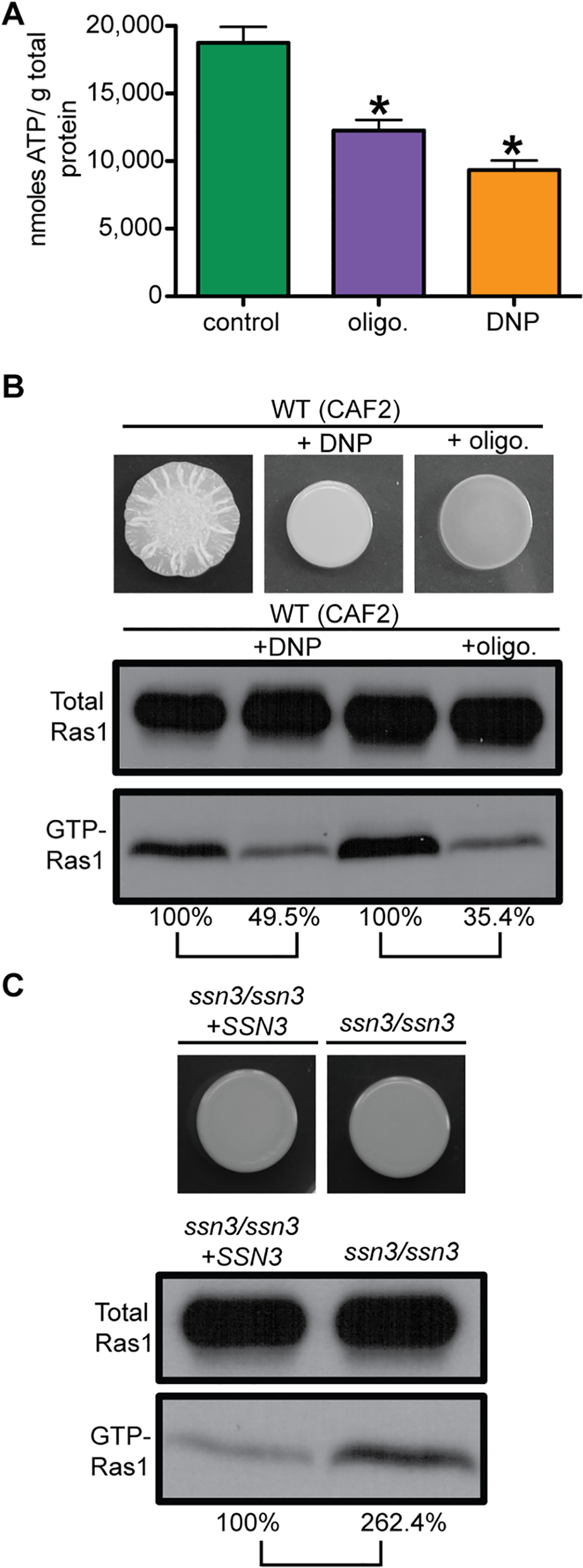 Ras1 signaling depends on total intracellular ATP levels.