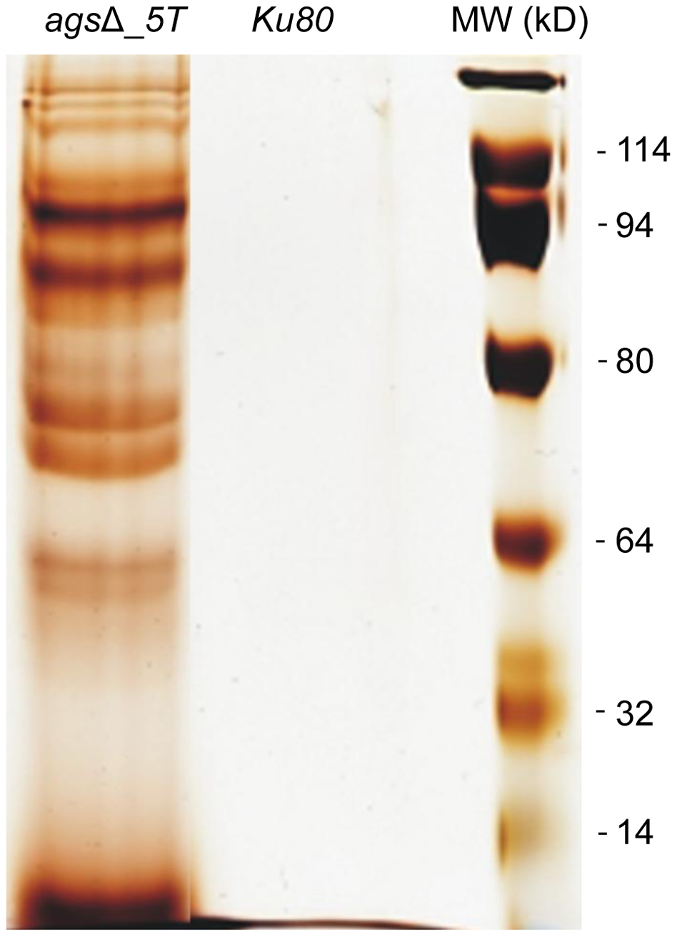 NaCl extracted proteins from the surface of <i>ags</i>Δ_<i>5T</i> resting conidia.