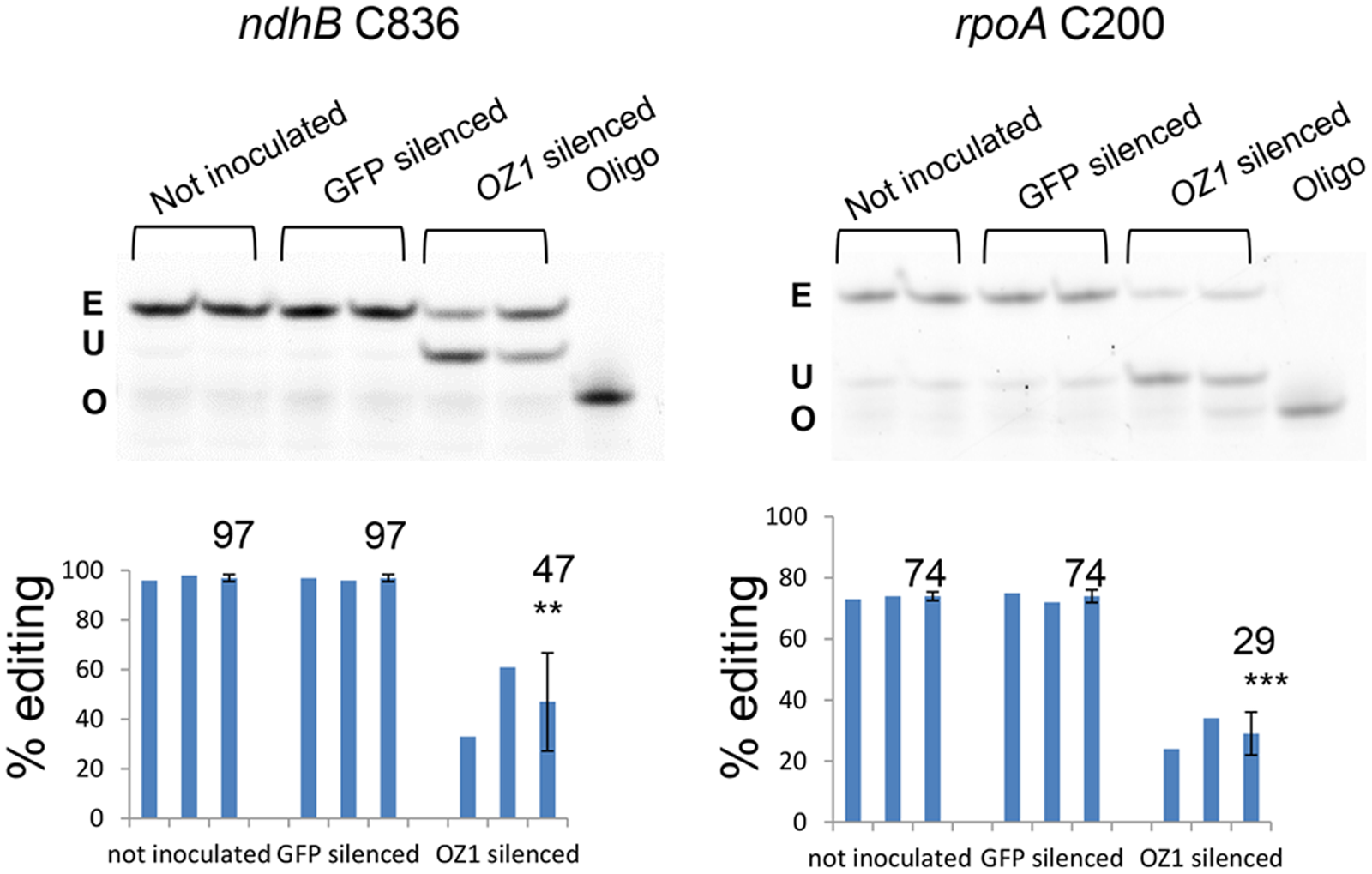 Transient silencing of <i>OZ1</i> in Arabidopsis results in chloroplast editing defects.