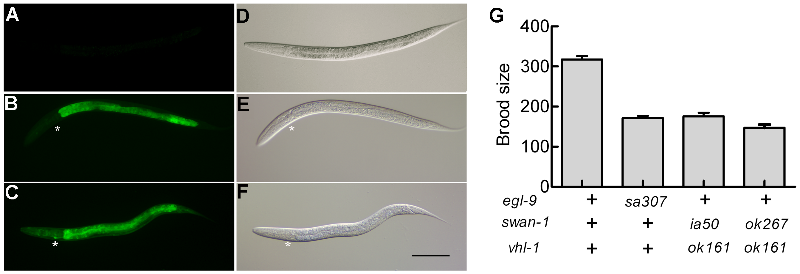 Phenotypic characterization of the <i>ia50</i> mutation.