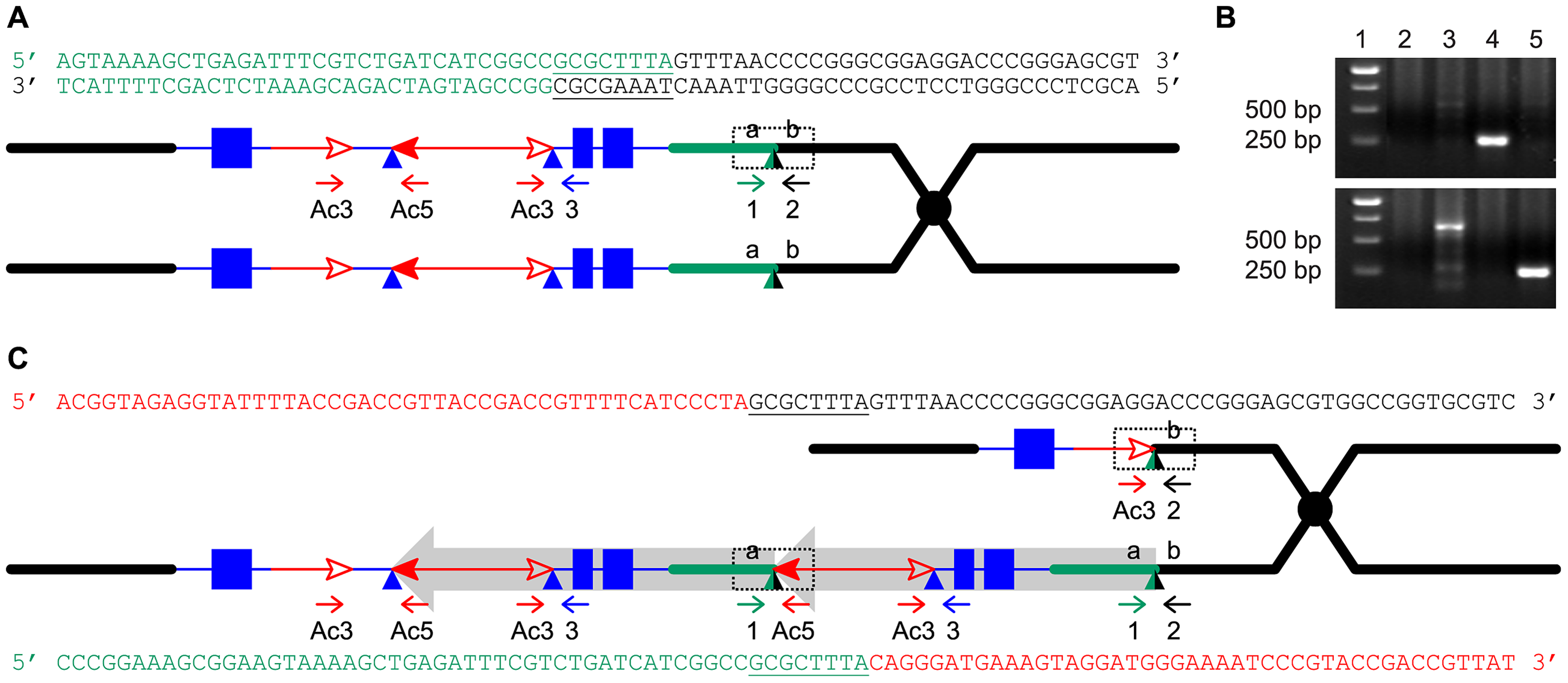 Breakpoint sequences of reciprocal duplication/deletion alleles <i>P1-rr-T1</i> and <i>p1-ww-T1</i> generated by Reversed Ends Transposition.
