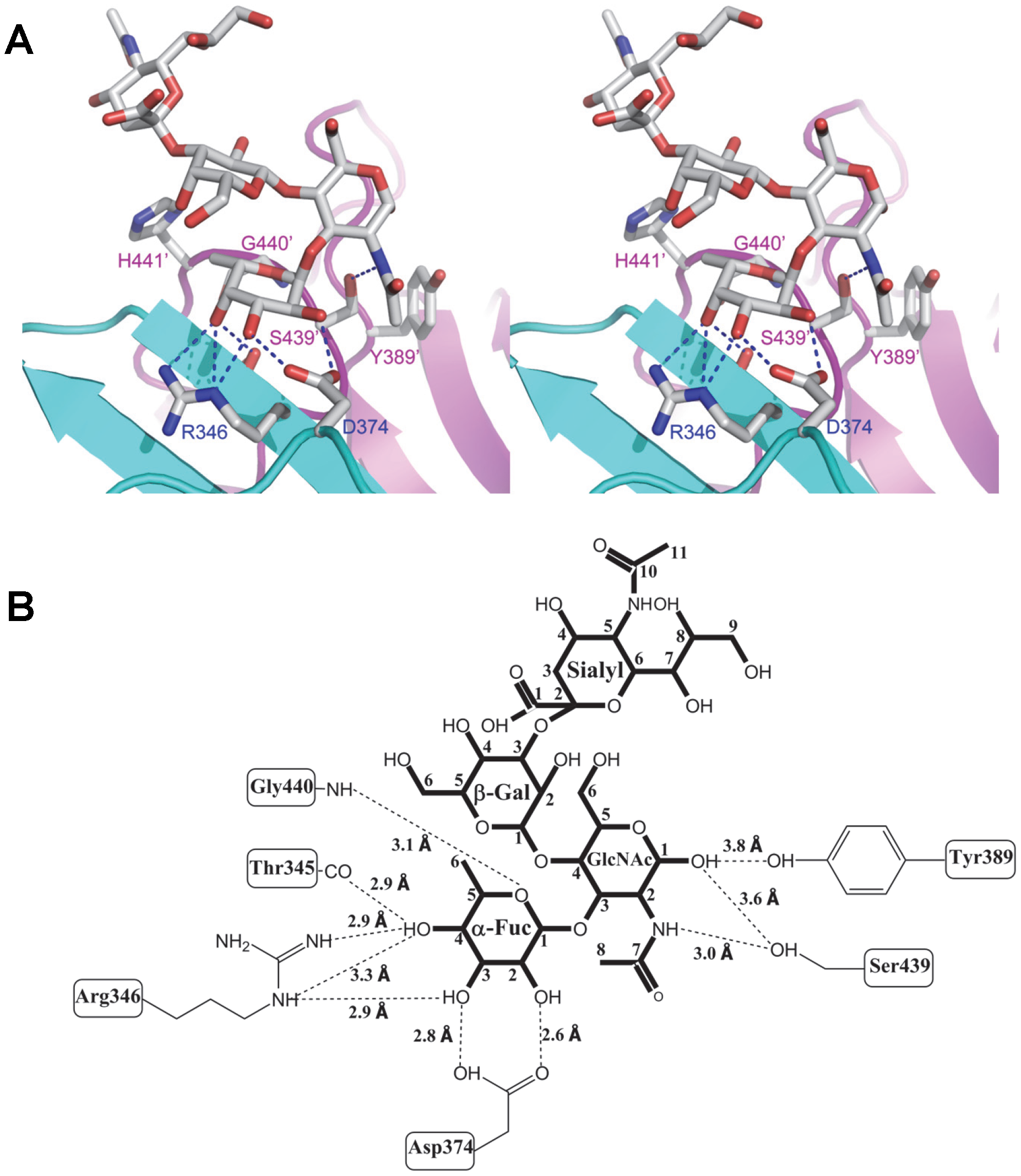Extensive interaction network between VA207 P dimer and 3′ sialyl-Lewis X tetrasaccharide.