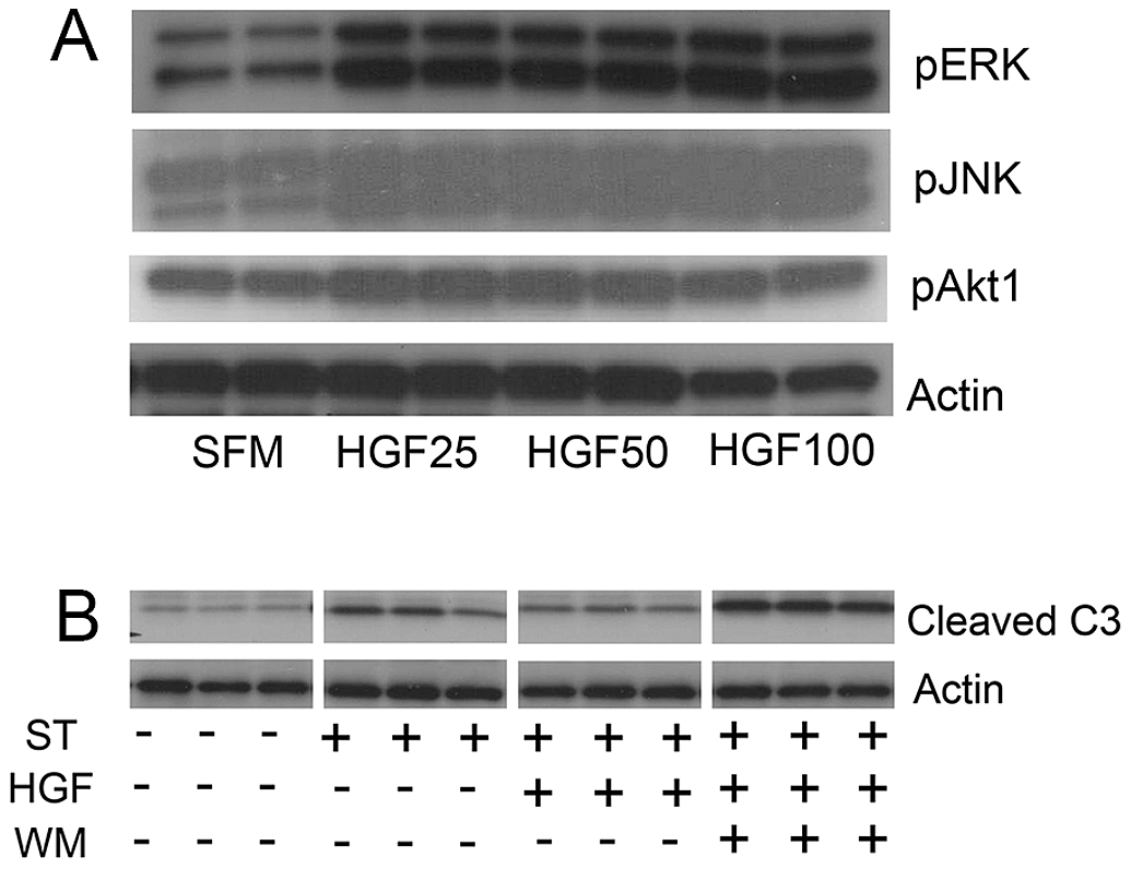 HGF treatment of MLE12 induces prosurvival signaling that protects against alveolar cell death.