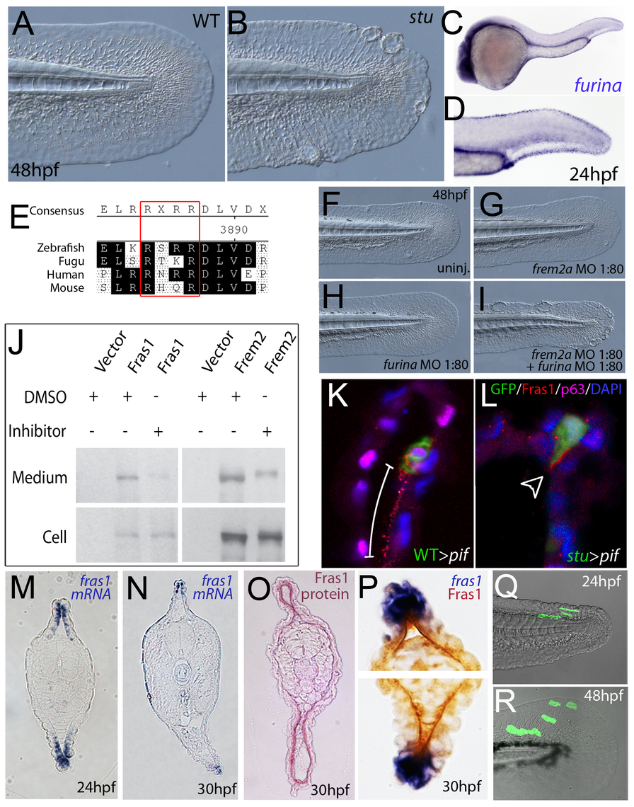 Furin is required for basement membrane anchorage, ectodomain shedding and proper basement membrane localisation of Frem2 and Fras1 proteins.