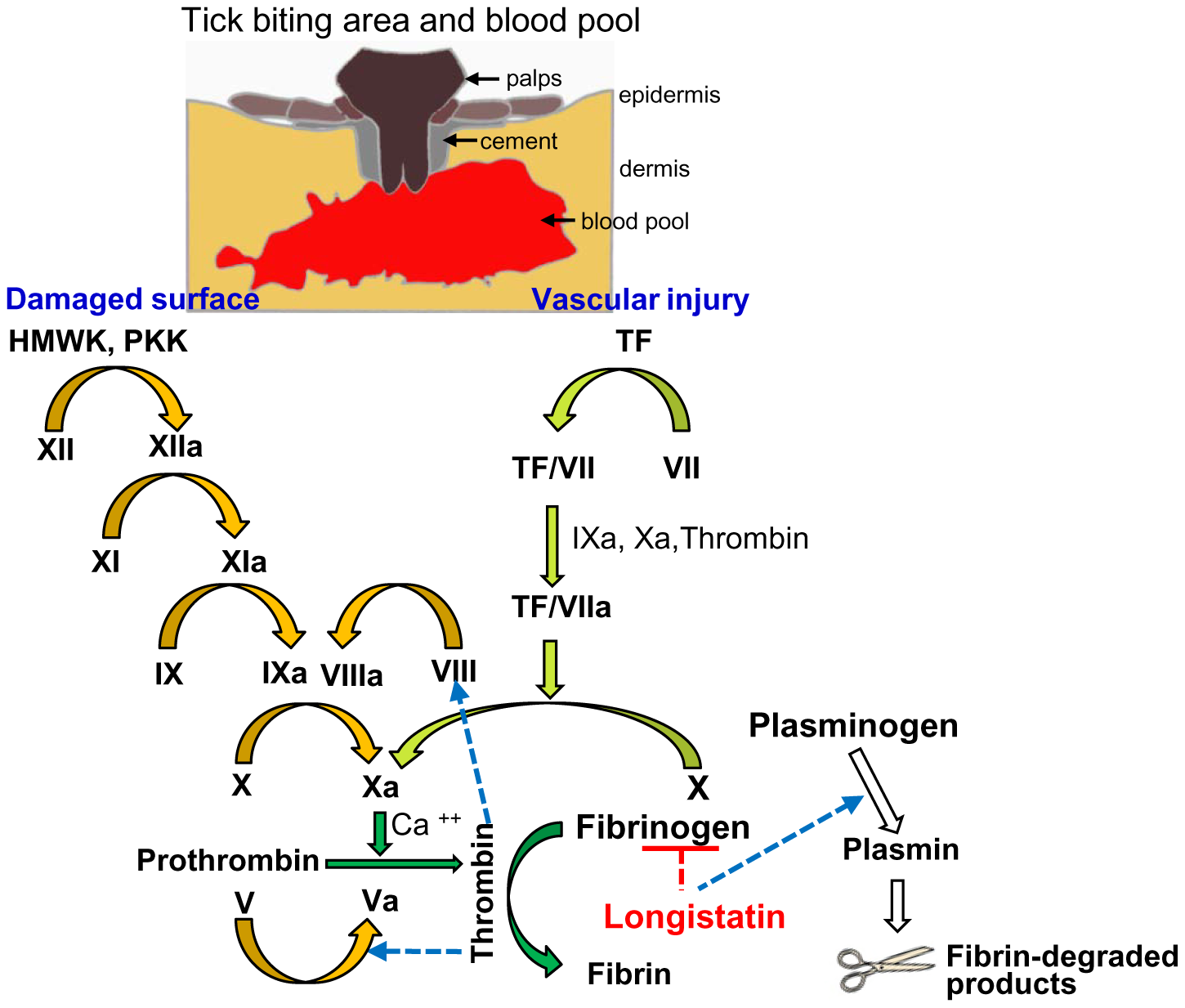 A schematic diagram showing roles of longistatin in blood coagulation and fibrinolysis events.
