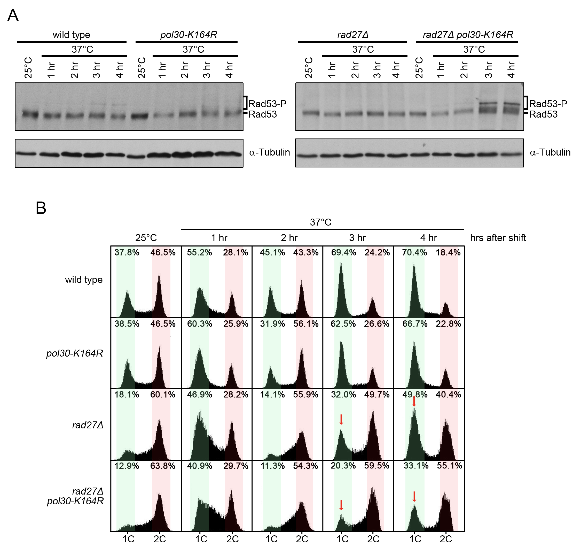 <i>rad27Δ pol30-K164R</i> double mutants exhibit increased checkpoint activation and cell cycle arrest.
