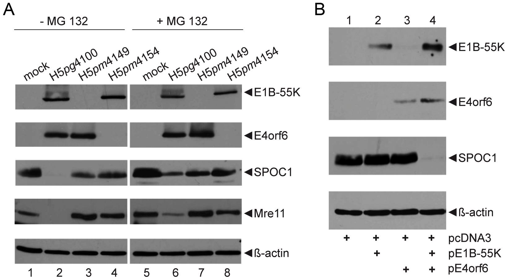Proteasomal degradation of SPOC1 by the E1B-55K/E4orf6 E3 ubiquitin ligase complex.