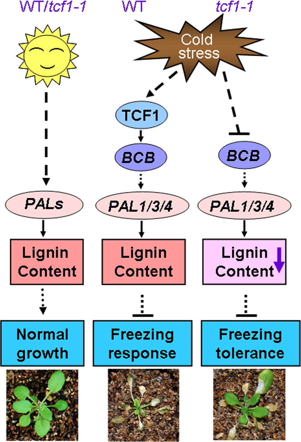 A proposed model for TCF1 in the <i>Arabidopsis</i> response to low temperature.