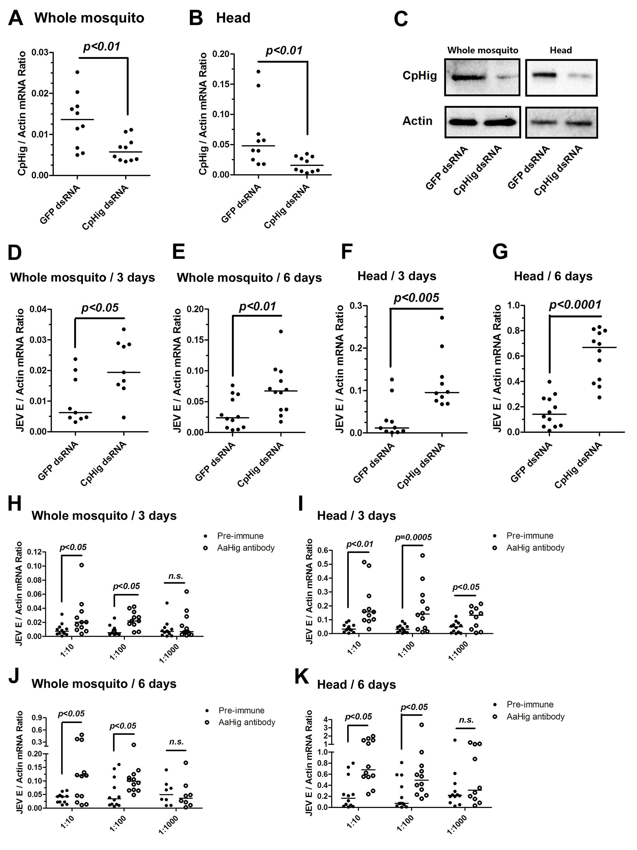 The antiviral effect of <i>Hig</i> in JEV infection of <i>C</i>. <i>pipiens pallens</i>.