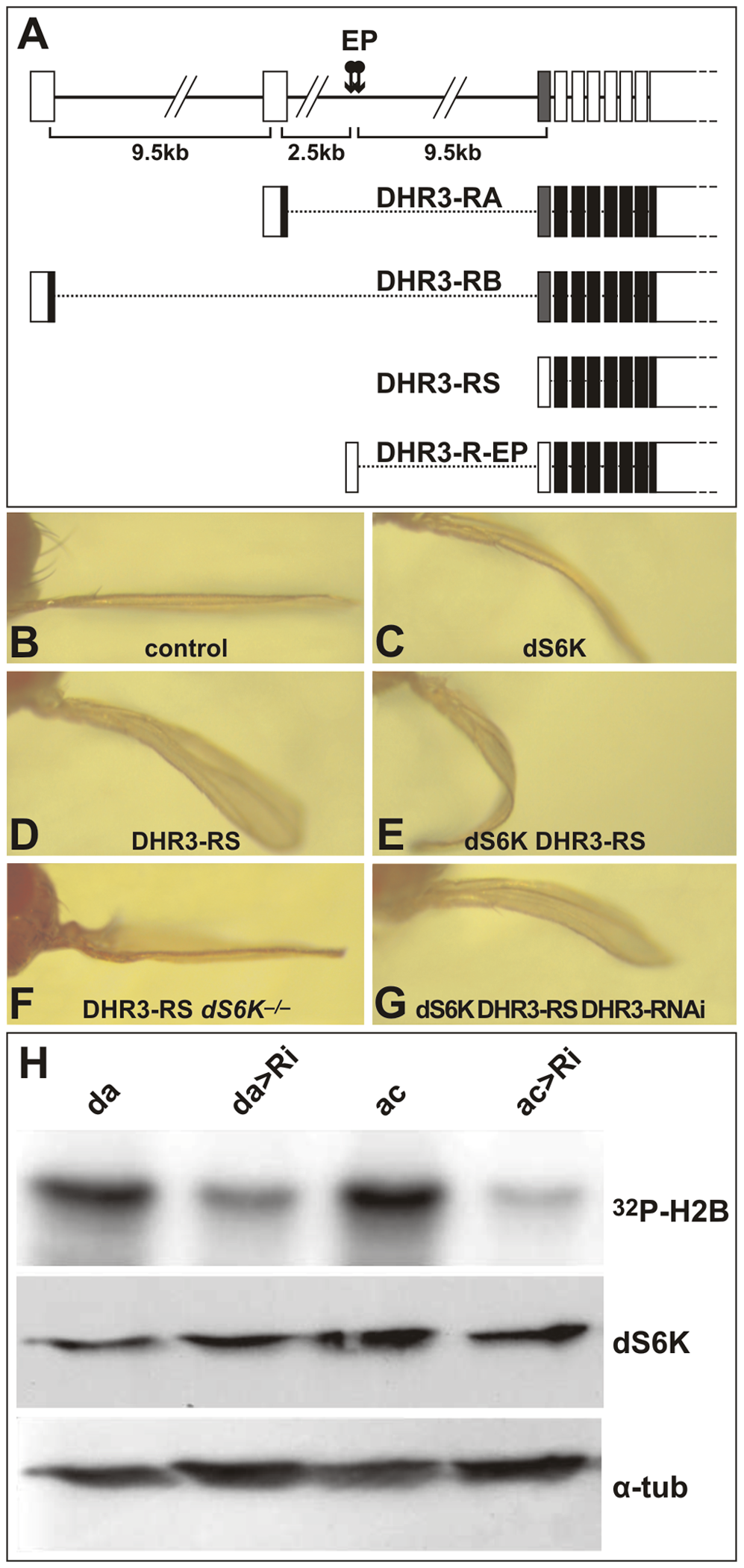 DHR3 regulates dS6K activity.