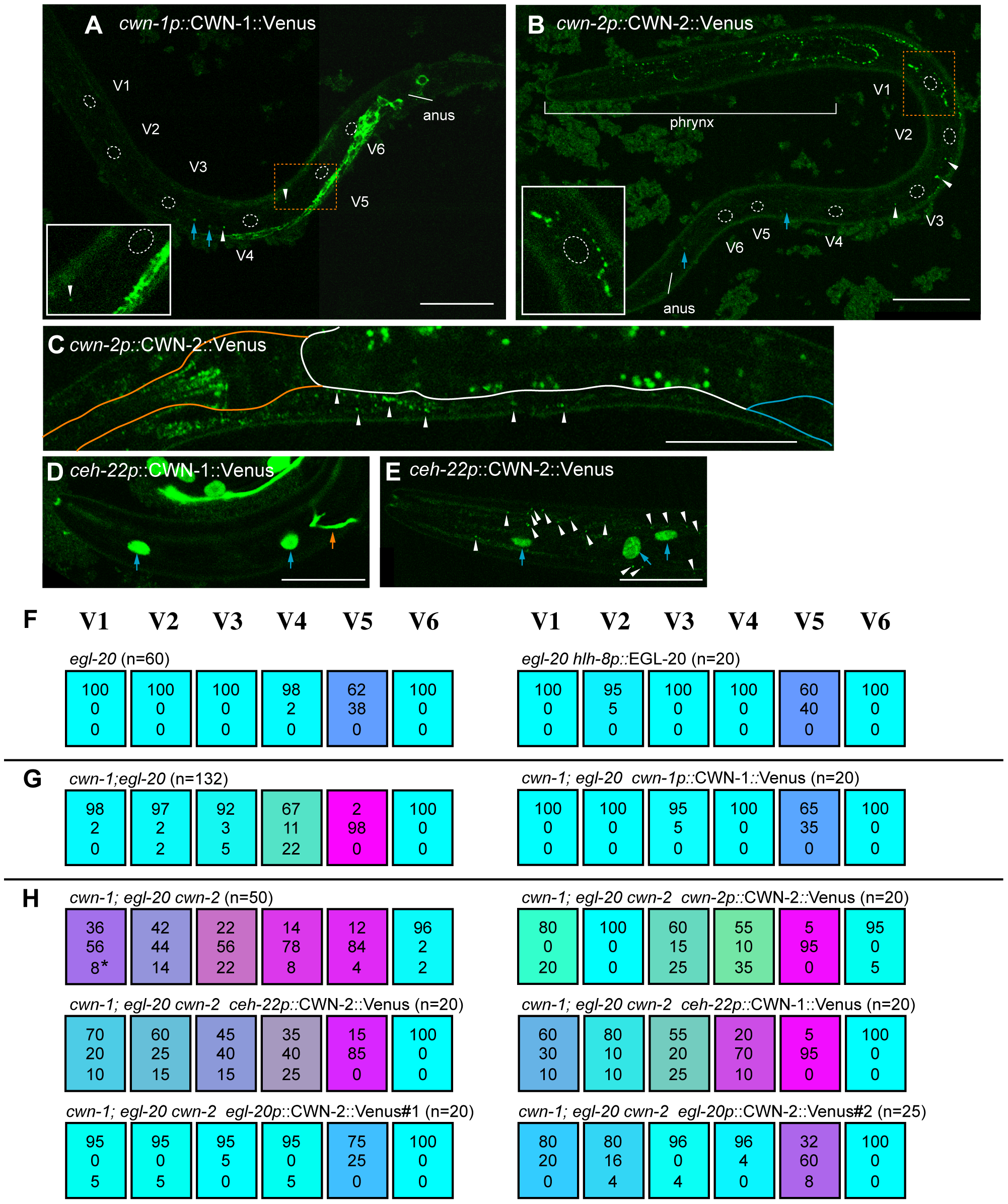Ectopic Wnt expression rescued compound Wnt mutants.