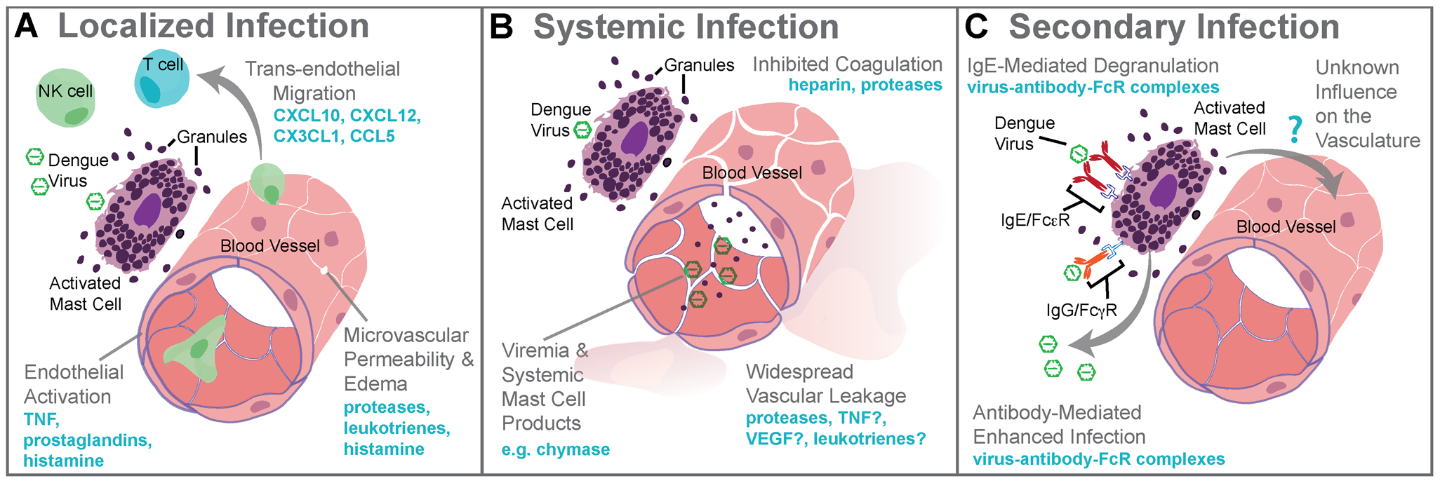 Mast cell–augmented immune responses to dengue virus infection.