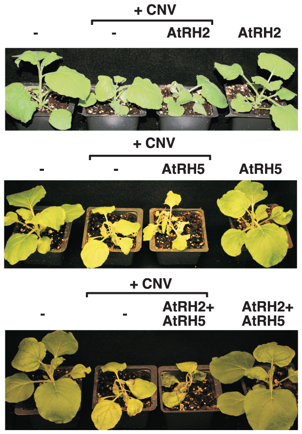 Over-expression of AtRH2 and AtRH5 in <i>N. benthamiana</i> accelerates the rapid necrosis caused by systemic CNV infection.