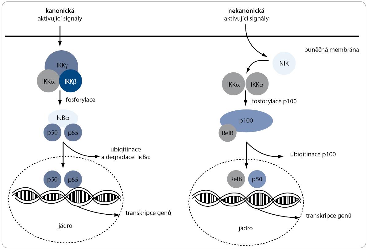 Kanonická a nekanonická signální dráha NF-κB. V regulaci NF-κB komplexů jsou zahrnuty dvě signální dráhy (kanonická a nekanonická), které jsou zodpovědné za aktivaci p50 a p52 z jejich inaktivních prekurzorů p105 a p100. Ústředním inhibitorem u obou drah je IKKα. Její fosforylace vede k degradaci inhibitoru a tím i aktivaci komplexů transkripčních faktorů, které mohou následně putovat do jádra a řídit transkripci některých genů.