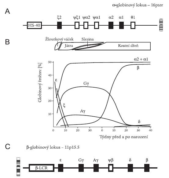 Struktura globinových lokusů a syntéza globinů. Schematické znázornění α globinového lokusu na chromozomu 16 (A) a β globinového lokusu na chromosomu 11 (C). HS-40 a β-LCR jsou regulační oblasti globinových genových rodin, působící v poloze cis. Funkční geny na lokusech jsou vyznačeny černě, nevybarvené obdélníky jsou pseudogeny (ψ). (B) Jednotlivé globinové řetězce syntetizované ve žloutkovém váčku, játrech, slezině a kostní dřeni během ontogenetického vývoje, vyjádřené v procentu celkového Hb. Přepnutí z embryonálních Hb na HbF je ukončeno v 10. týdnu; přepnutí z HbF na Hb dospělého typu probíhá v období těsně po narození. Upraveno dle [1].