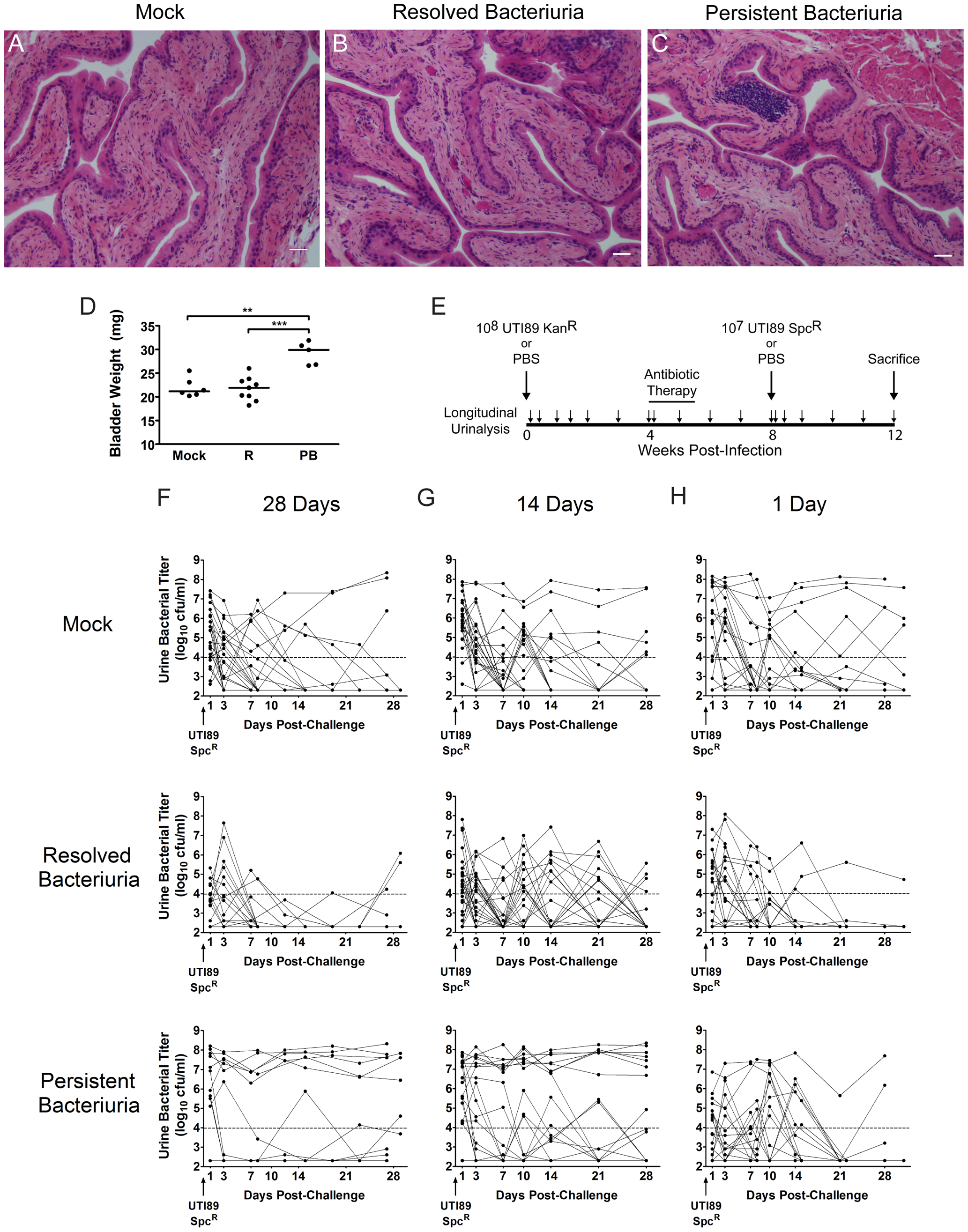 C3H/HeN mice with a history of chronic cystitis are more susceptible to chronic cystitis upon challenge infection.