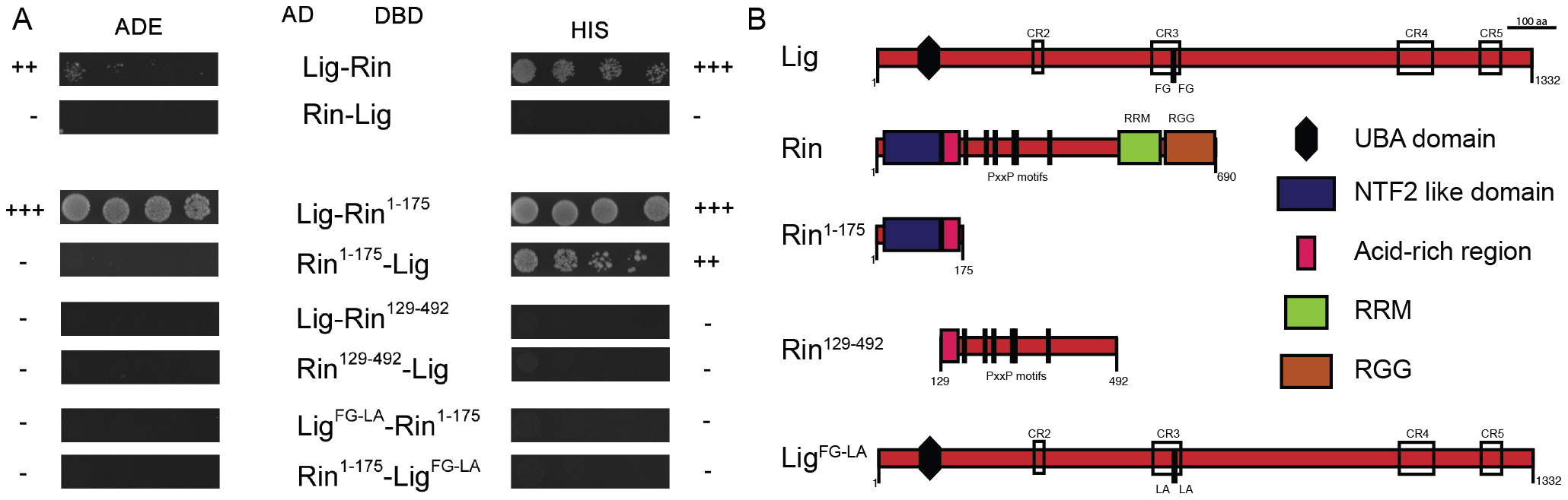 Lig interacts with Rin in Y2H experiments.