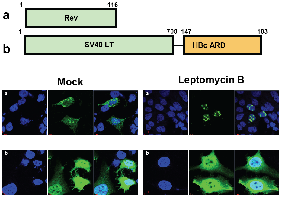 Wild type HBc ARD is leptomycin B resistant, suggesting that HBc ARD does not contain a CRM-1 dependent NES.